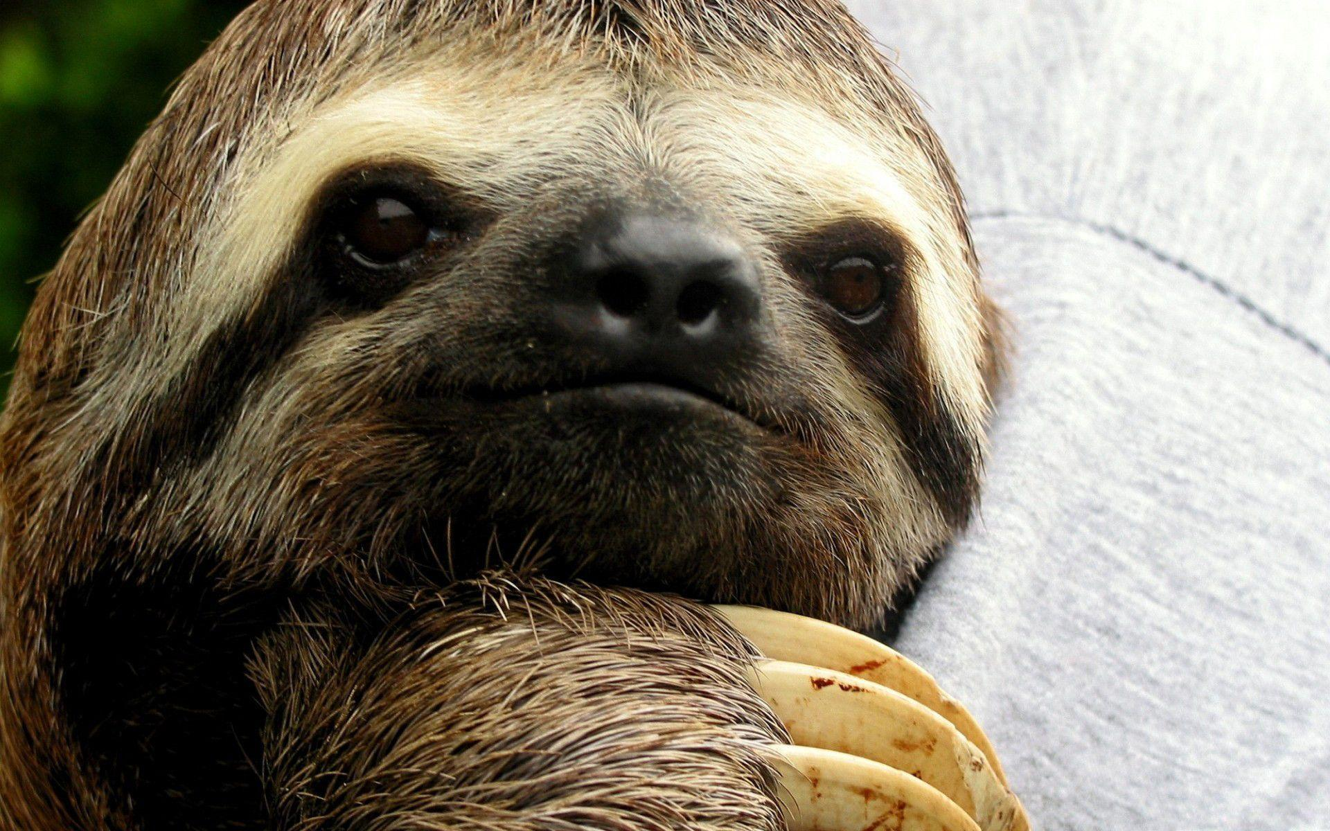 Image For > Sloth Wallpapers