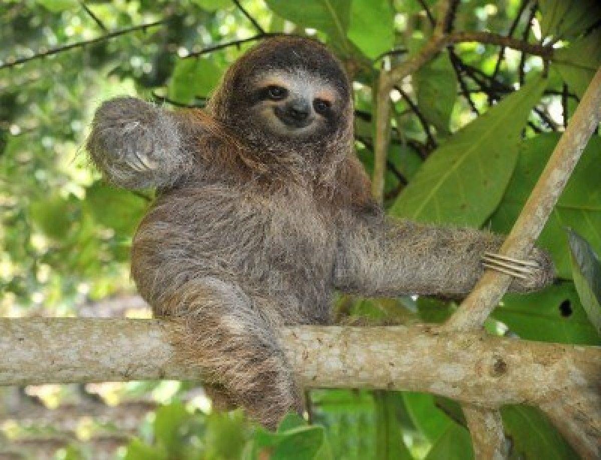 Image For > Sloth Baby Wallpapers