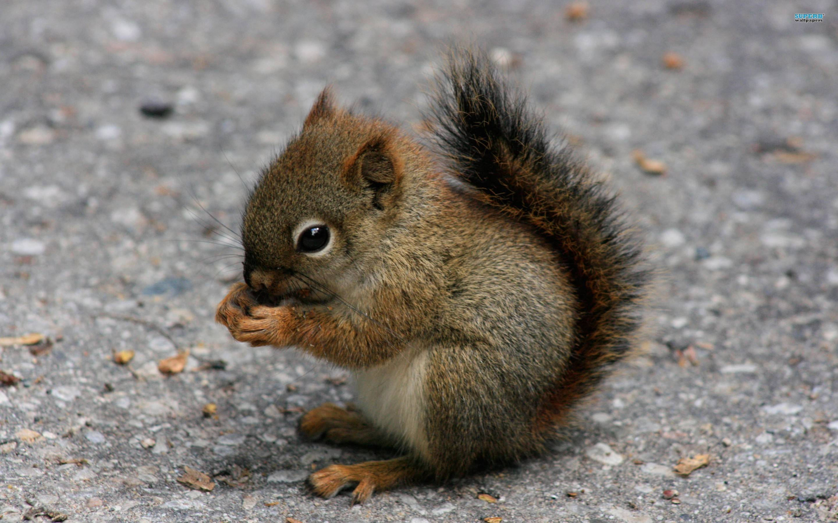 Squirrel Wallpapers 39780 in Animals