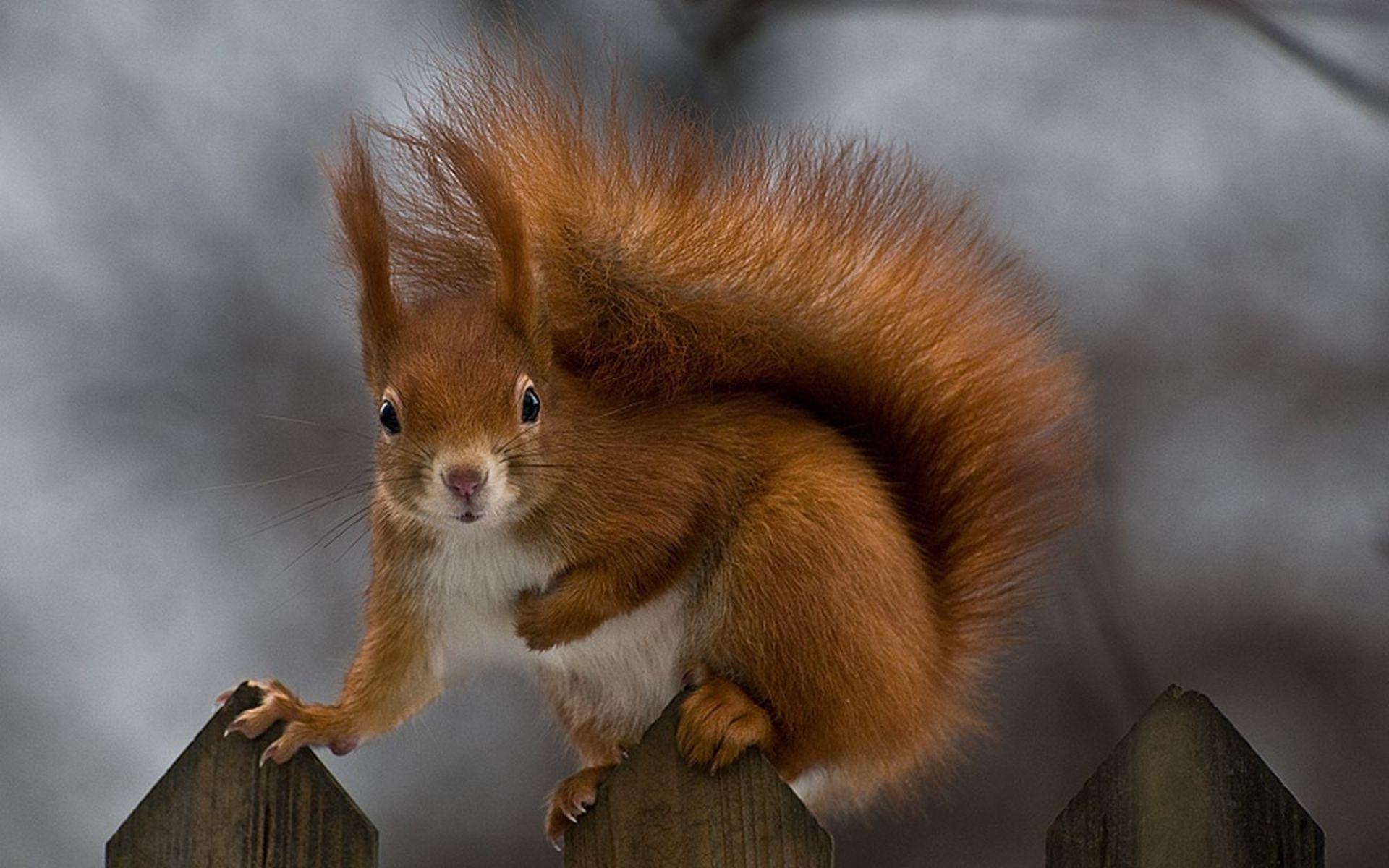 Squirrel Pics Squirrel Wallpapers Squirrel free backgrounds
