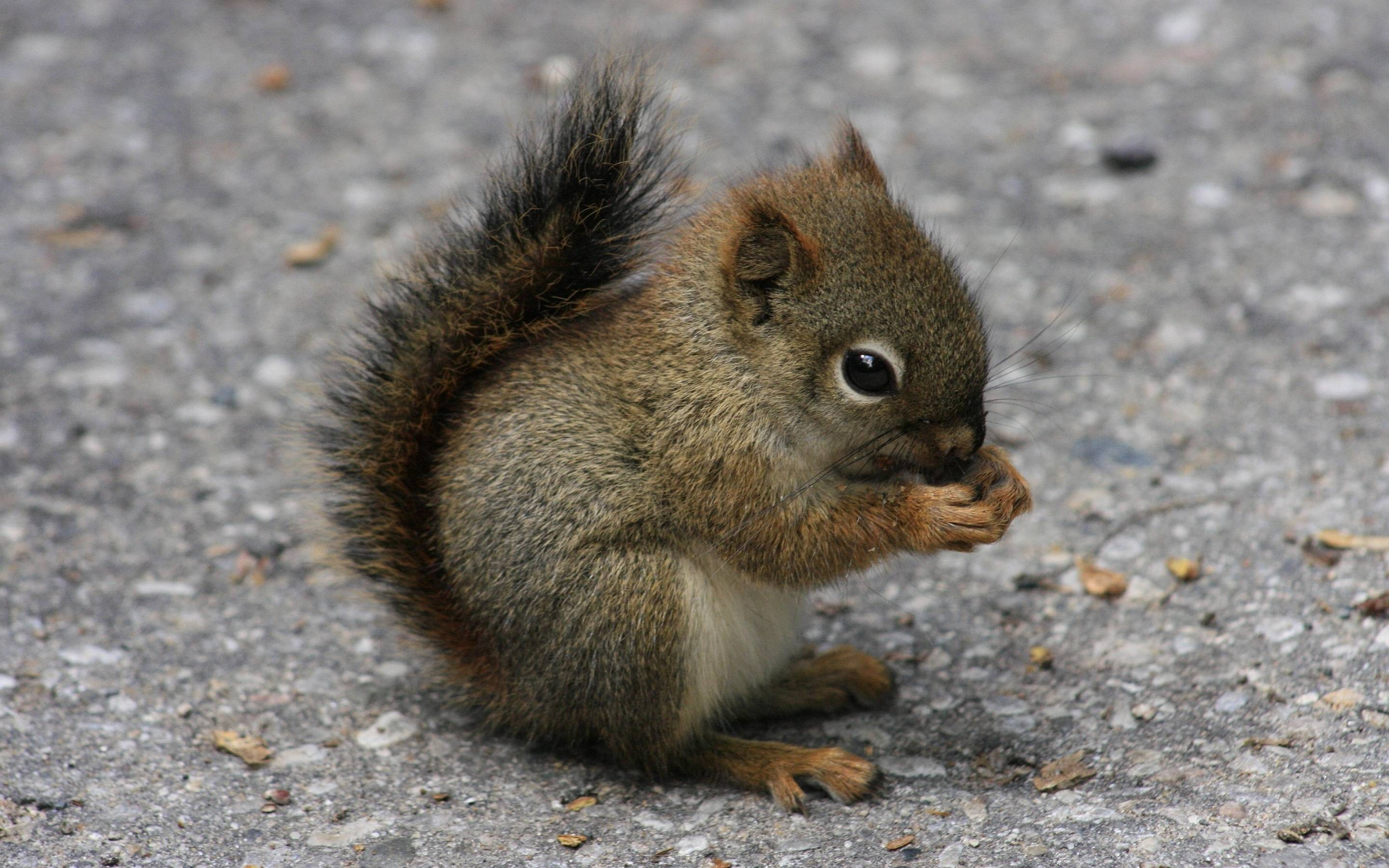 2880x1800 Little Squirrel Wallpapers