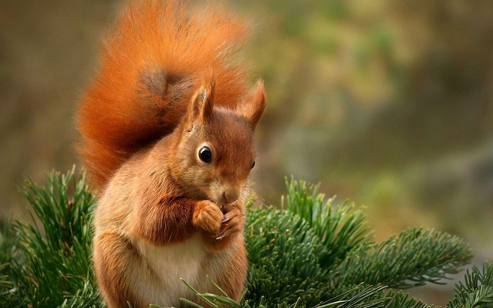 Squirrel HD Wallpapers