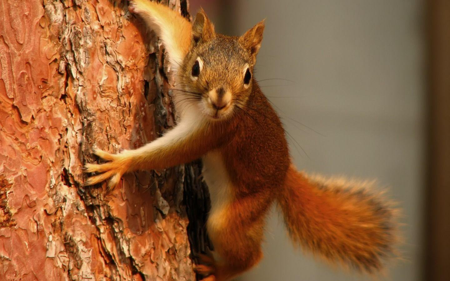 Curious squirrel wallpapers