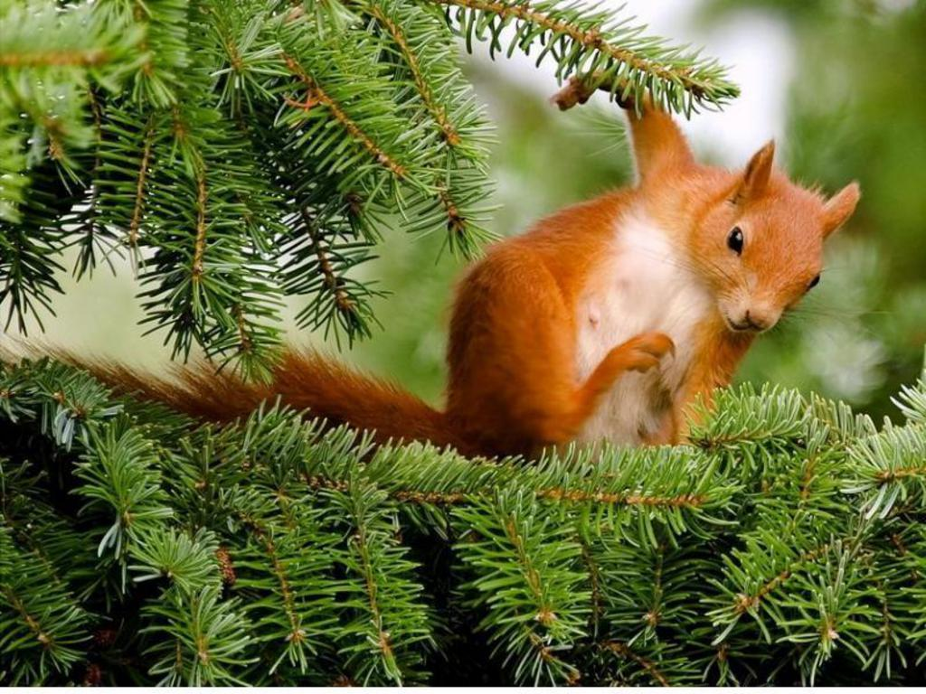 Red Squirrel HD Wallpapers