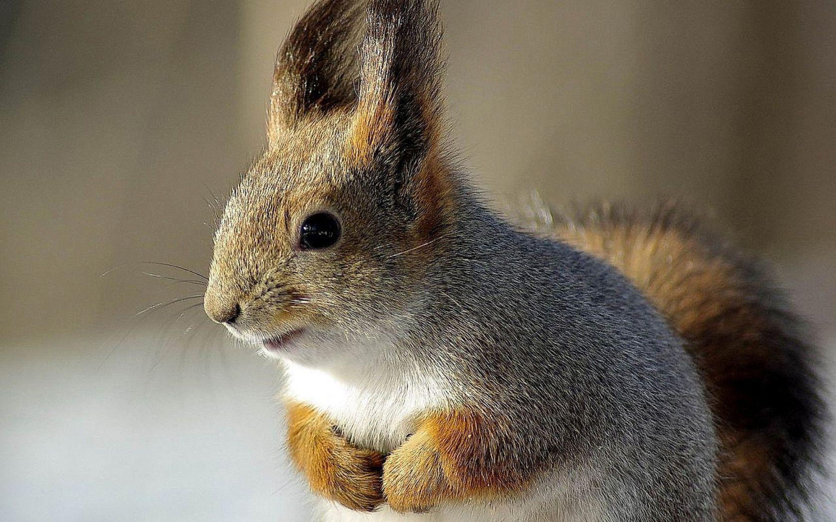Squirrel wallpapers and image