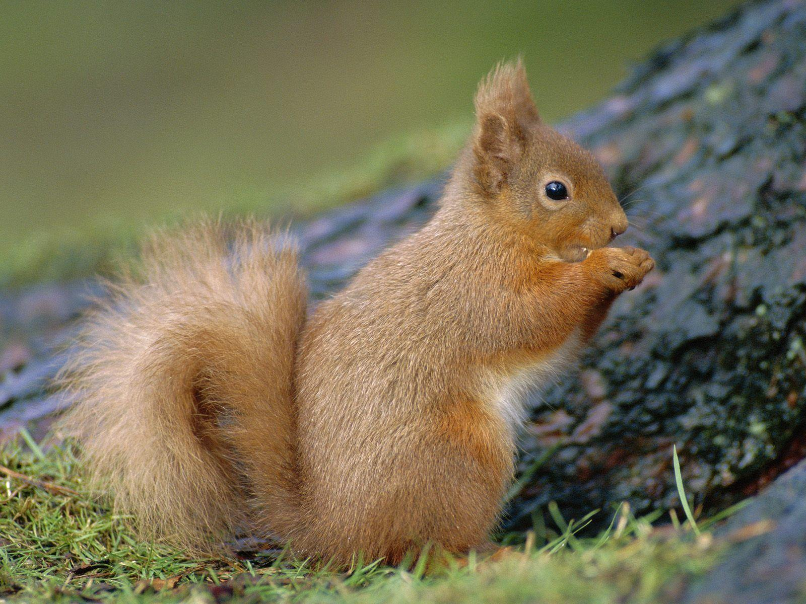 Squirrel Wallpapers 16241 1920x1200 px