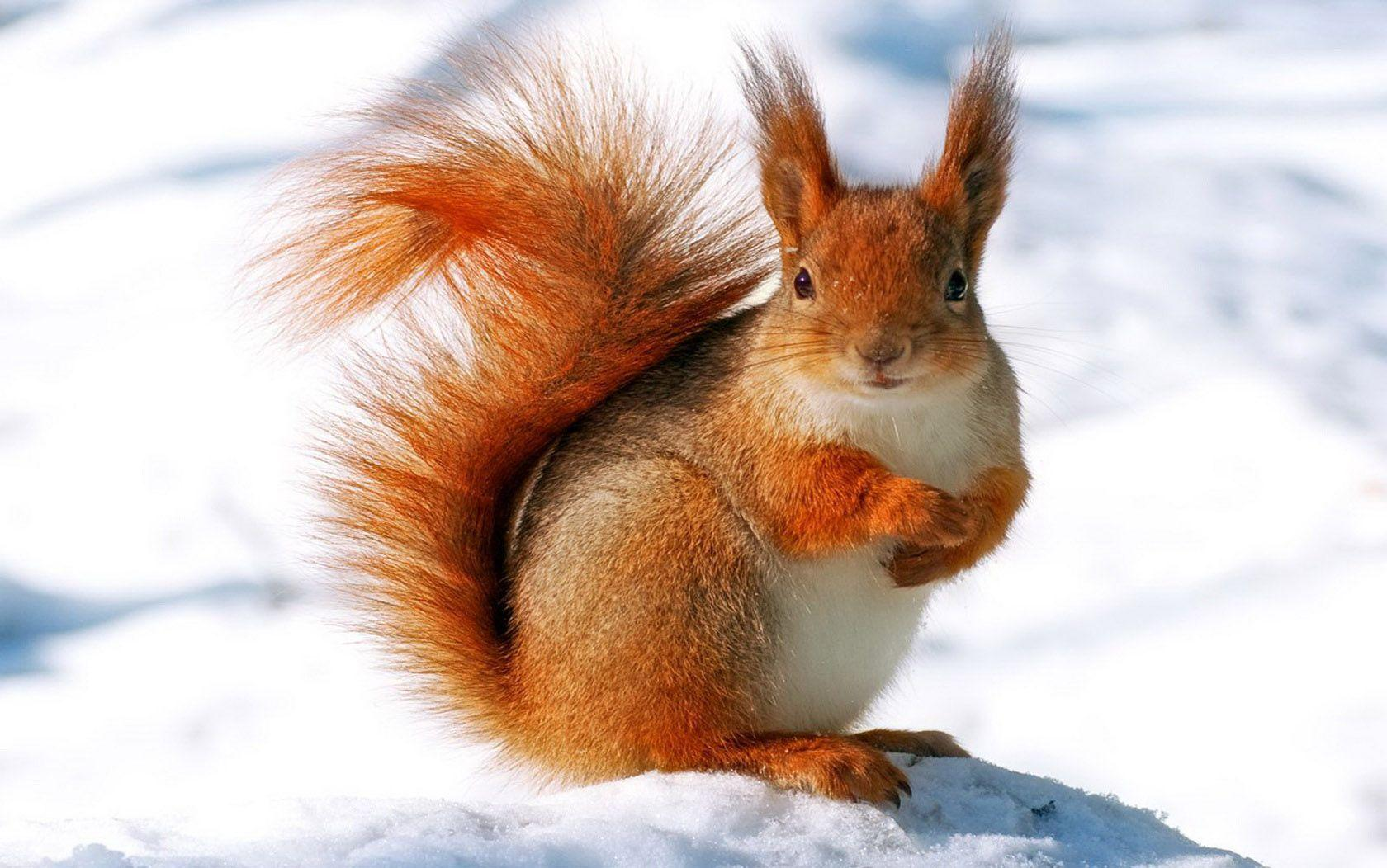 Snow Squirrel Wallpapers