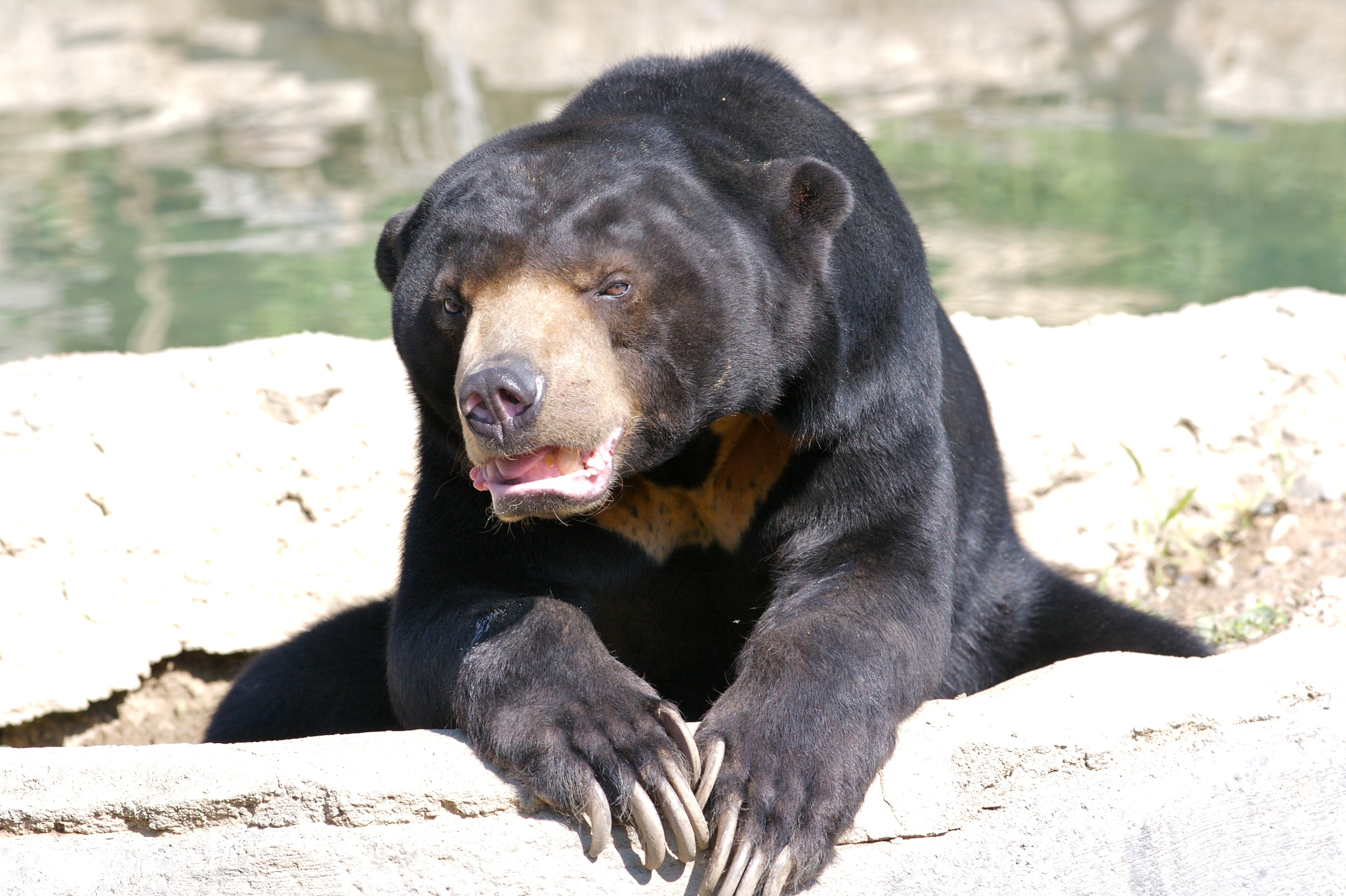 Sun Bear Wallpapers Image Photos Pictures Backgrounds