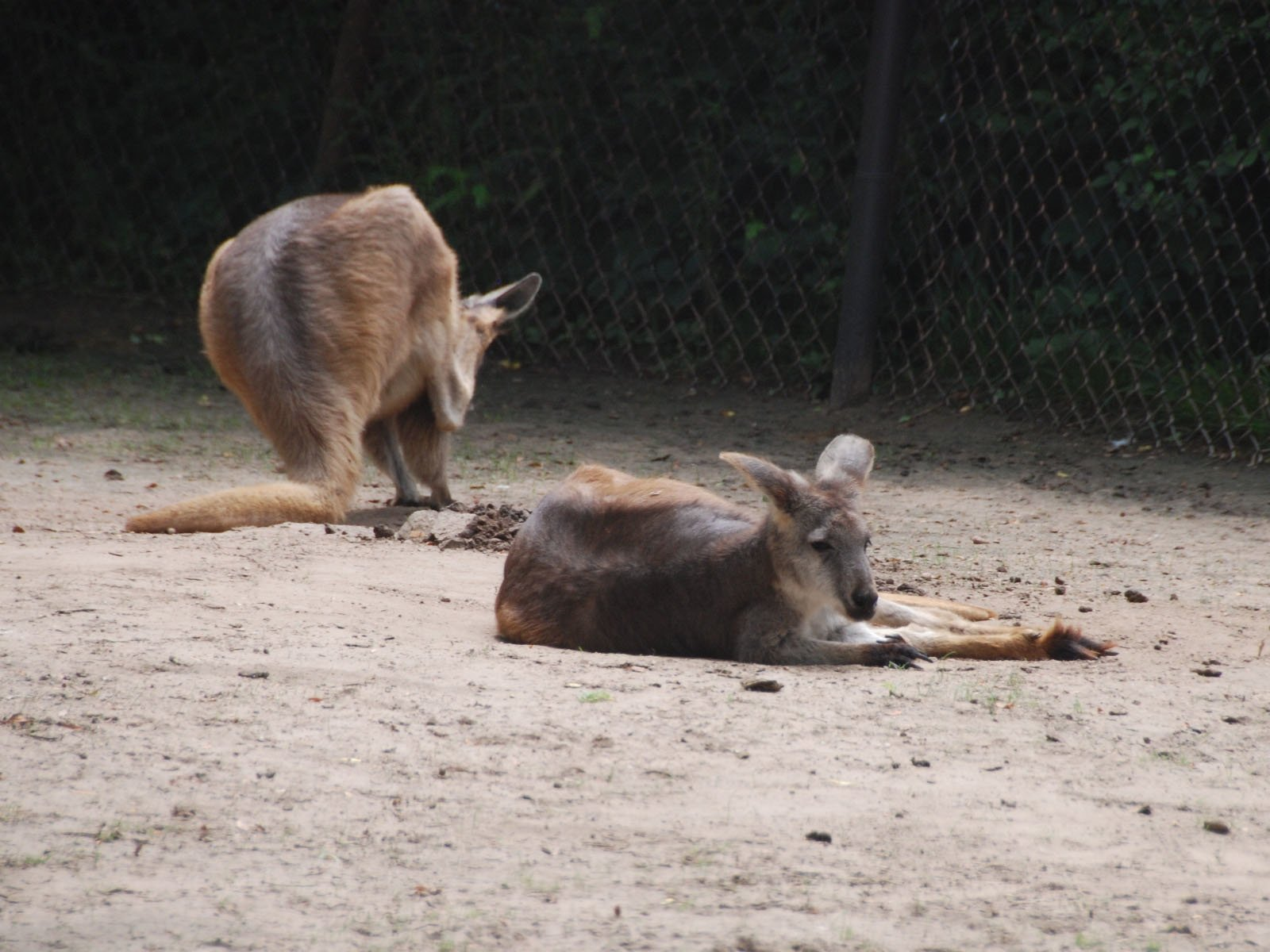 Wallaroo Wallpapers and Backgrounds Image