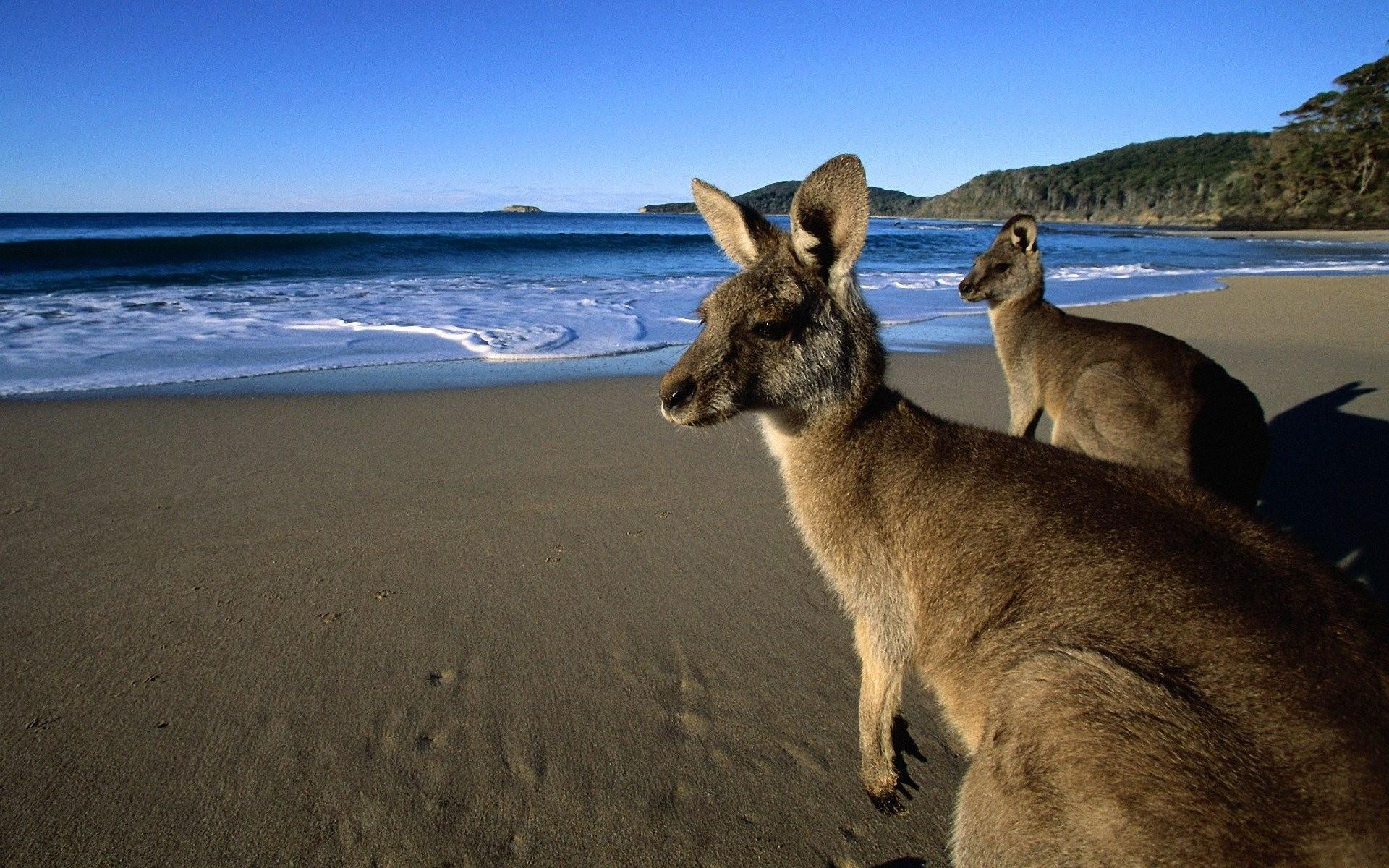 Kangaroo Live Wallpapers for Android