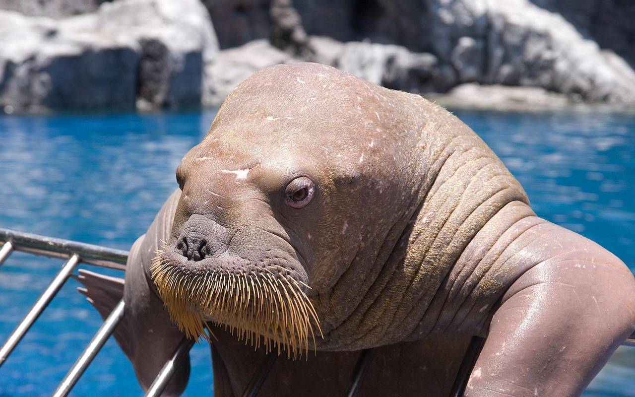 Download wallpapers 1280x800 walrus, face, sea, dweller, old