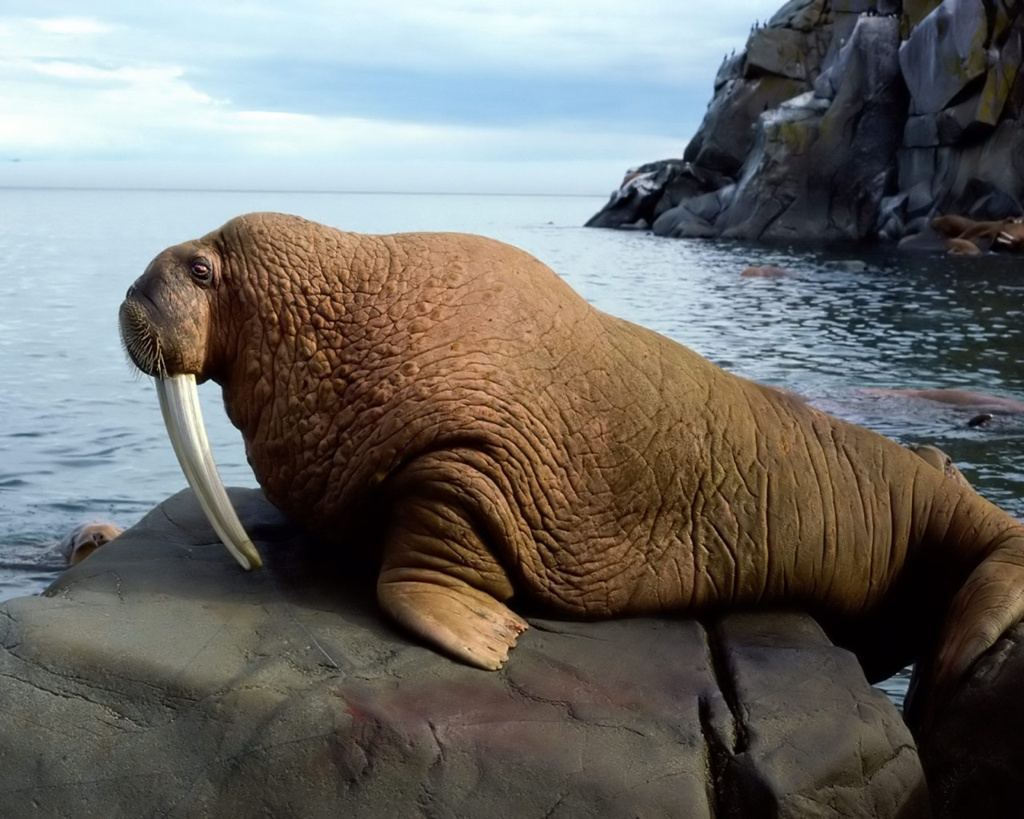 QQ Wallpapers: Animal Walrus Wallpapers