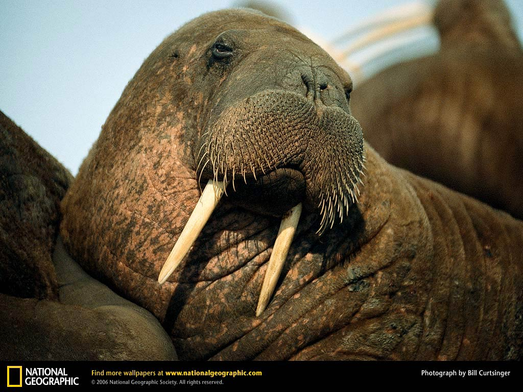 Walrus Wallpapers and Backgrounds