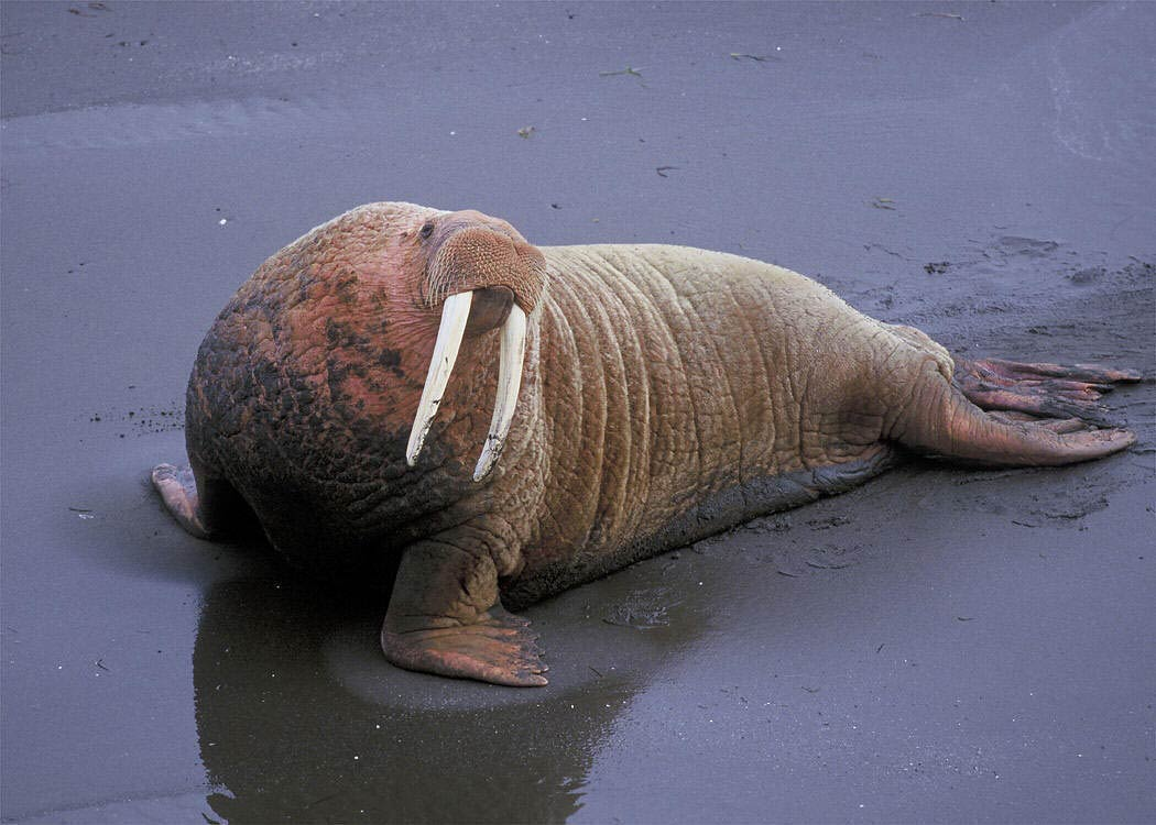 Free Walrus Wallpapers download