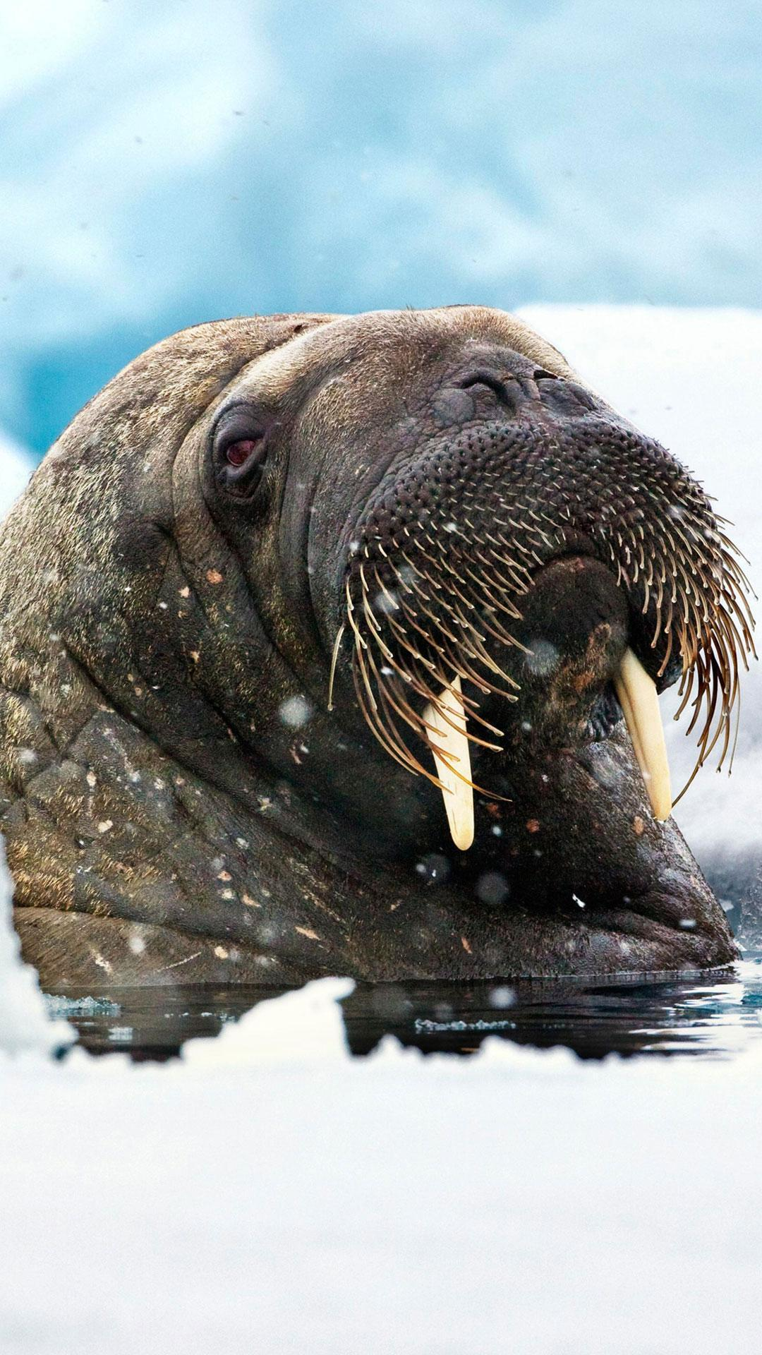 Walrus Live Wallpapers for Android