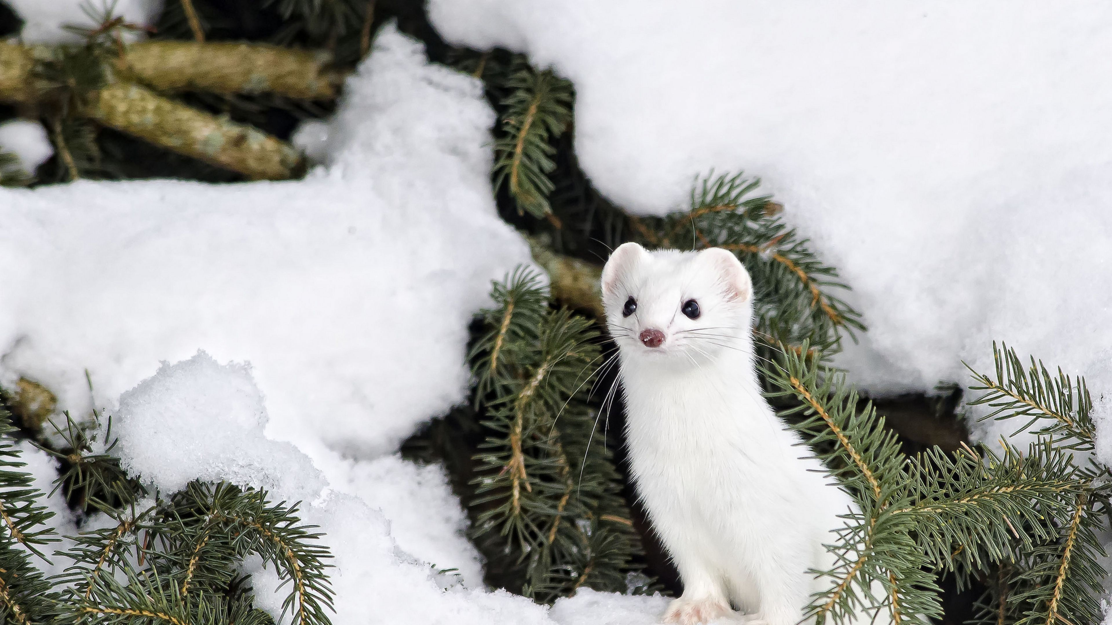 Winter Animal Backgrounds