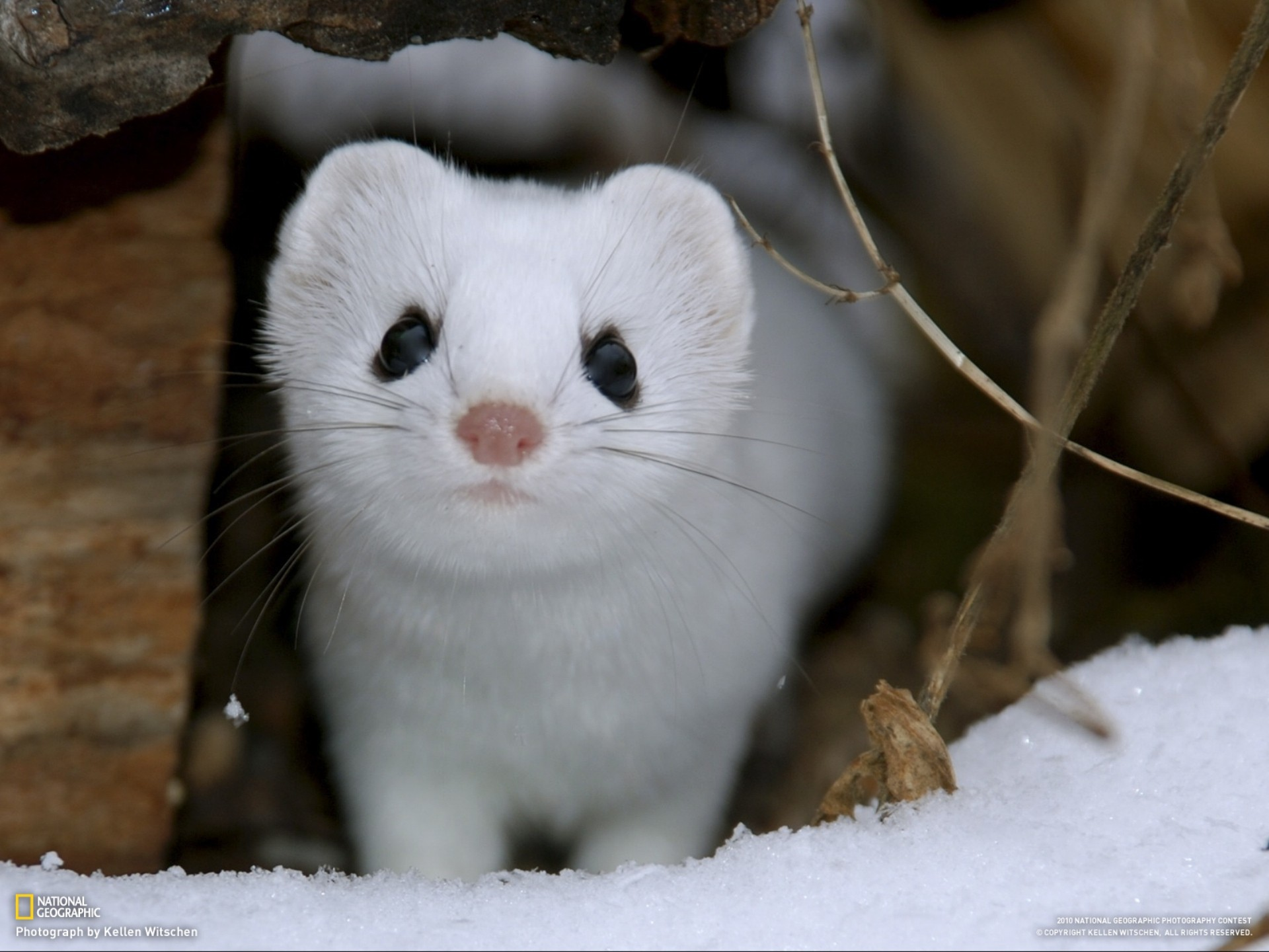 nature, snow, animals, National Geographic, weasels