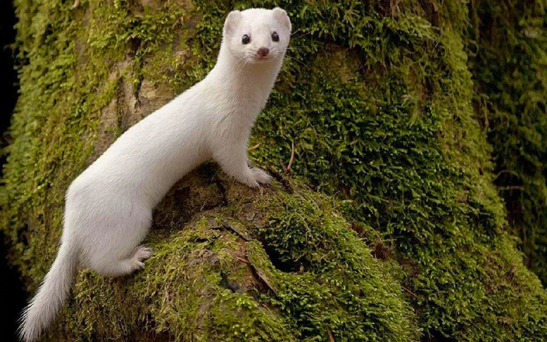 Weasel Wallpapers Widescreen Image Photos Pictures