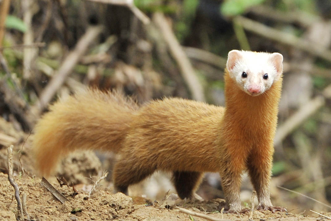Weasel Animal Facts & HD Image Wallpapers Download