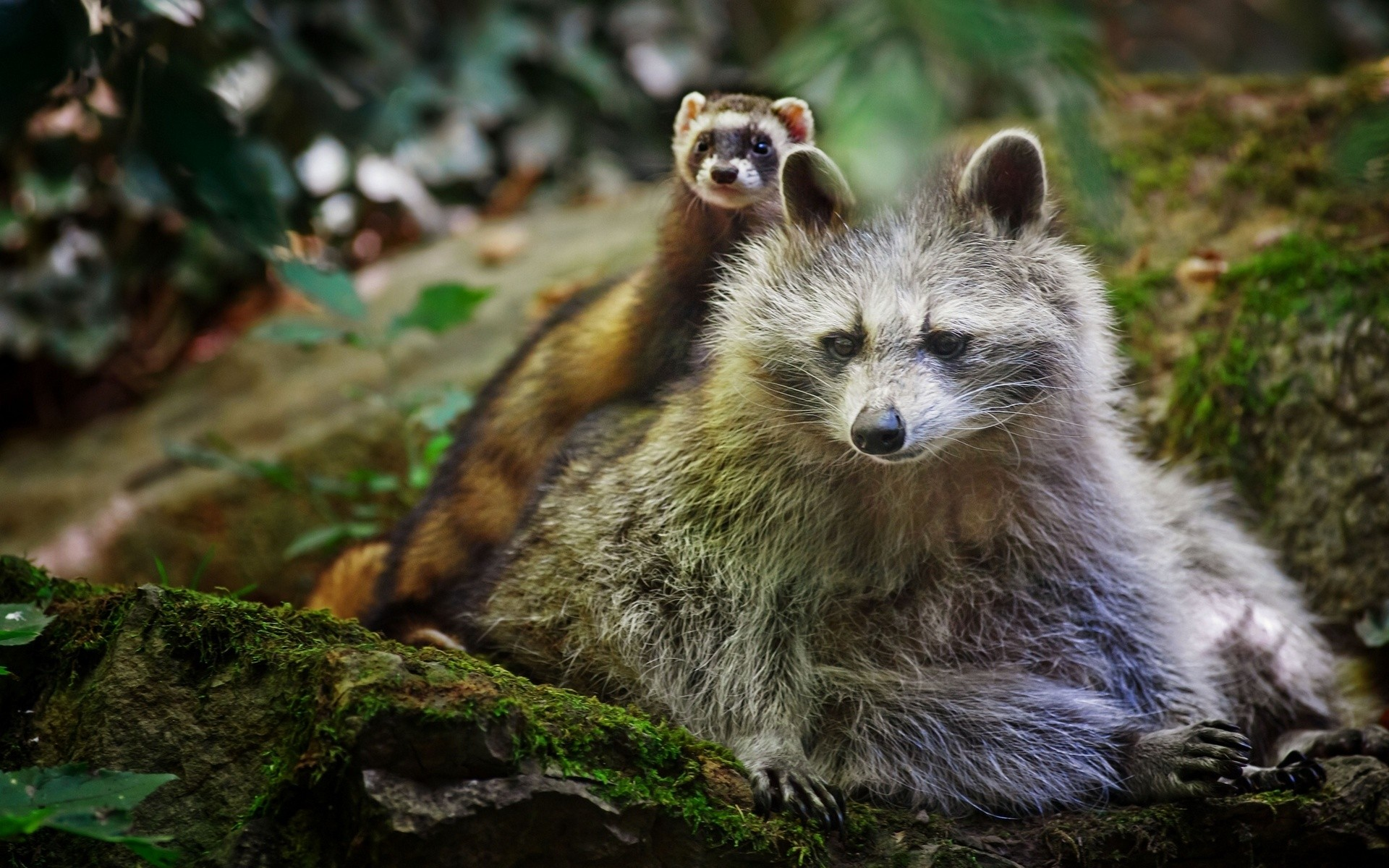 Animals, Weasels Samsung, Moss, Free, Forest, Rocks, Nature