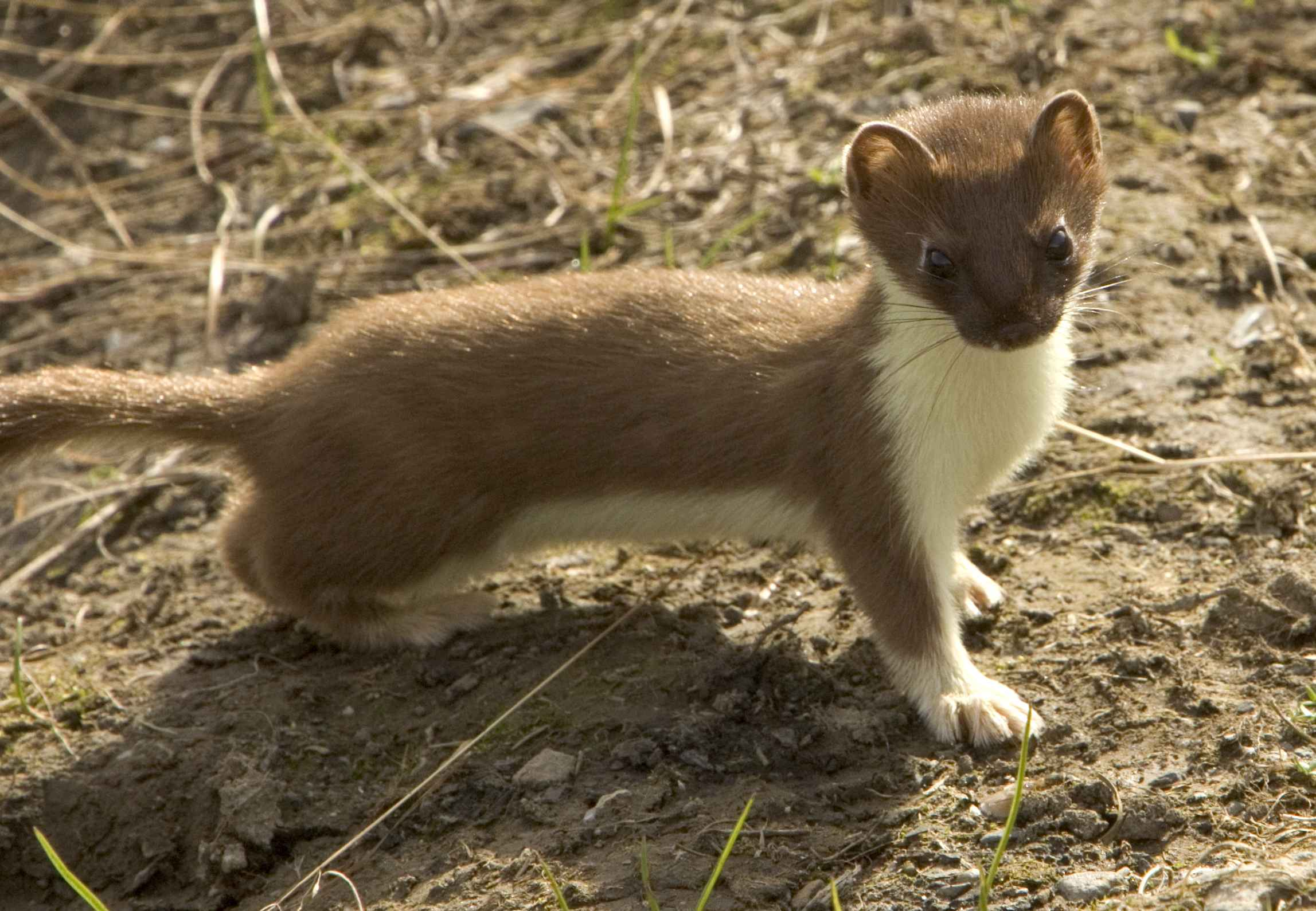Free picture: weasel, short tailed, mammal, mustela, erminea