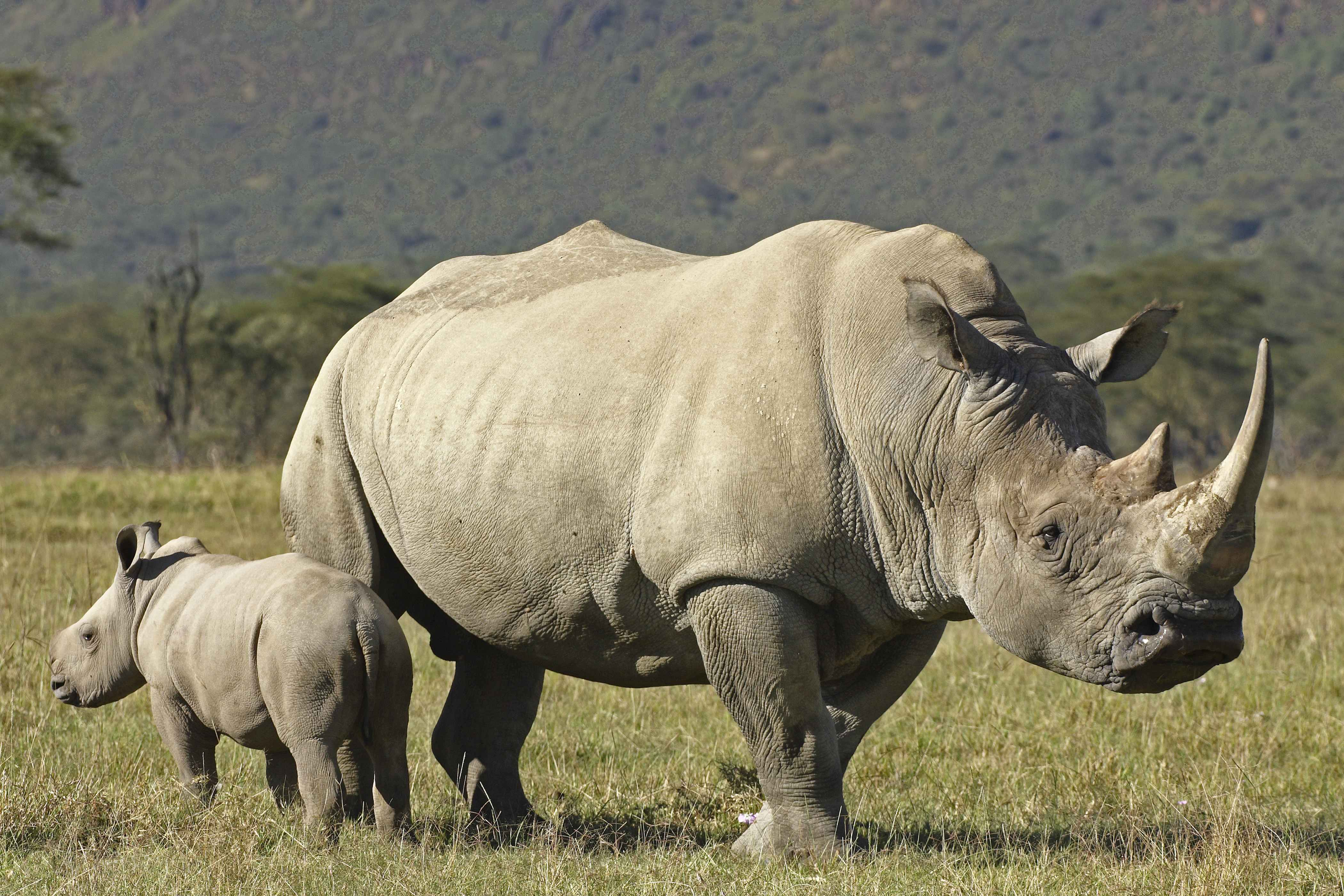 Rhino Full HD Wallpapers and Backgrounds Image