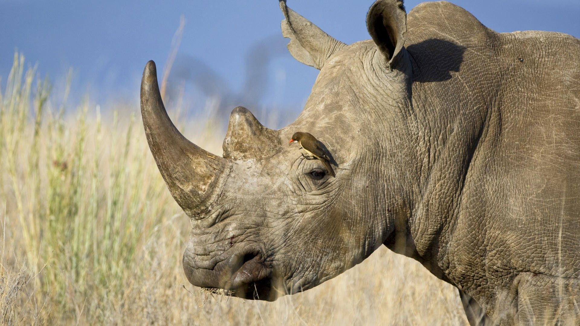 red white rhinoceros tickbird 1920x1080 wallpapers High Quality