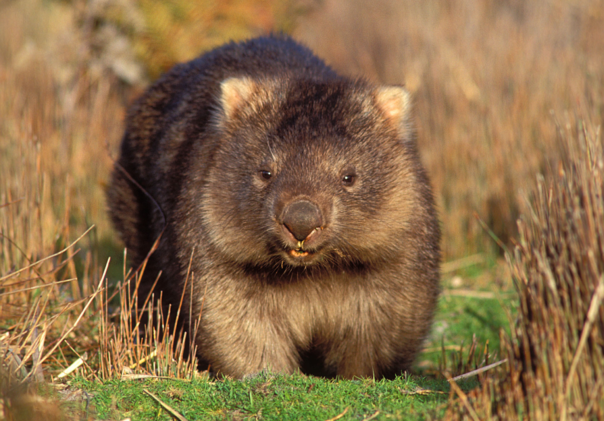 Best 40+ Wombat Backgrounds on HipWallpapers