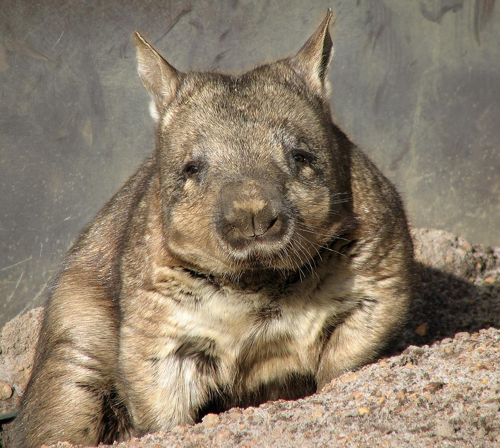 Wombats Wallpapers HD FREE for Android