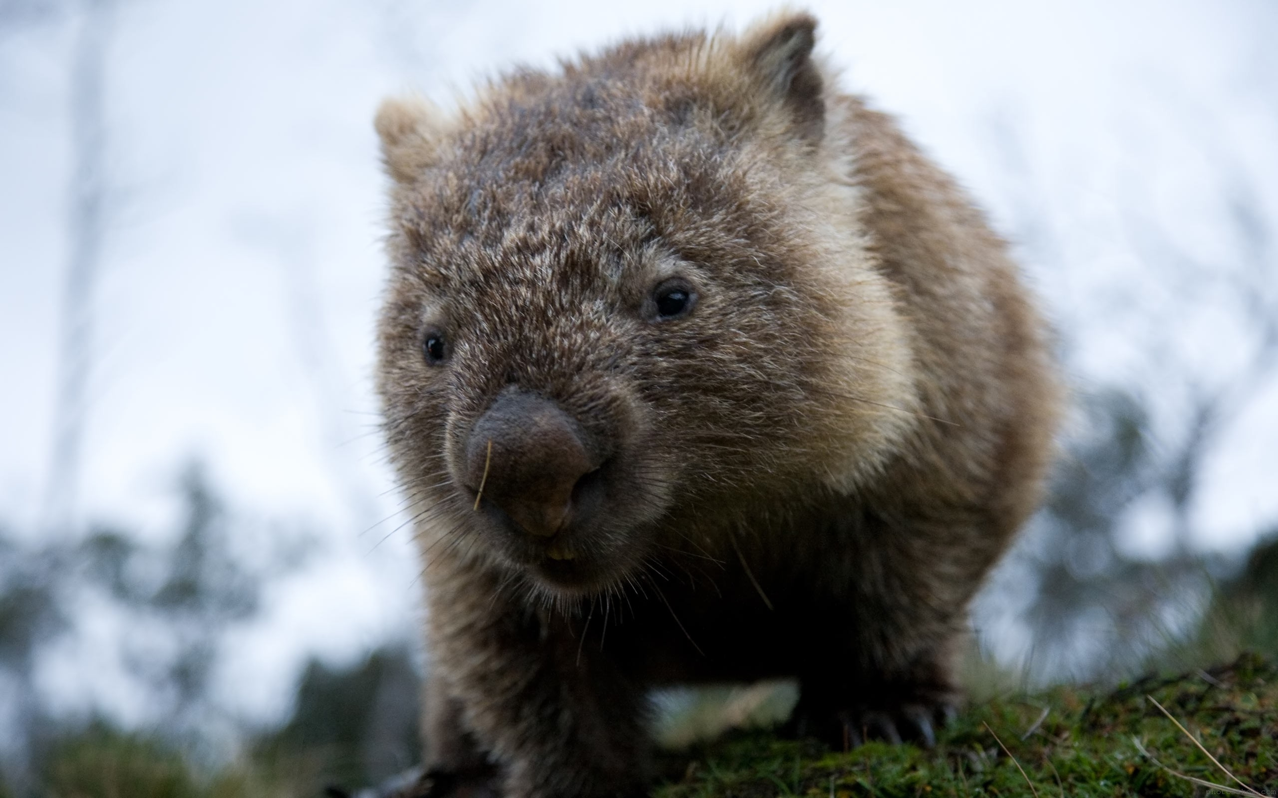 Interesting Wombat HDQ Image Collection, HDQ Cover Wallpapers