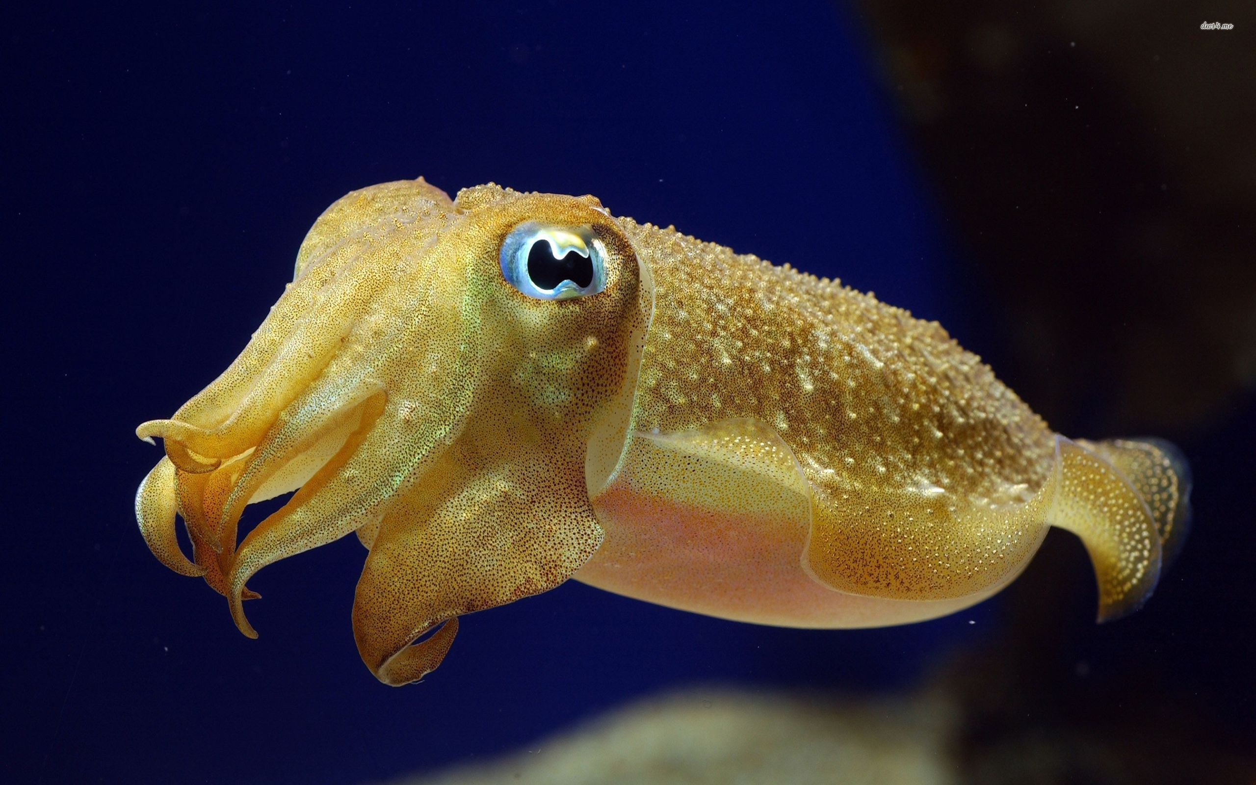9 Cuttlefish Wallpapers