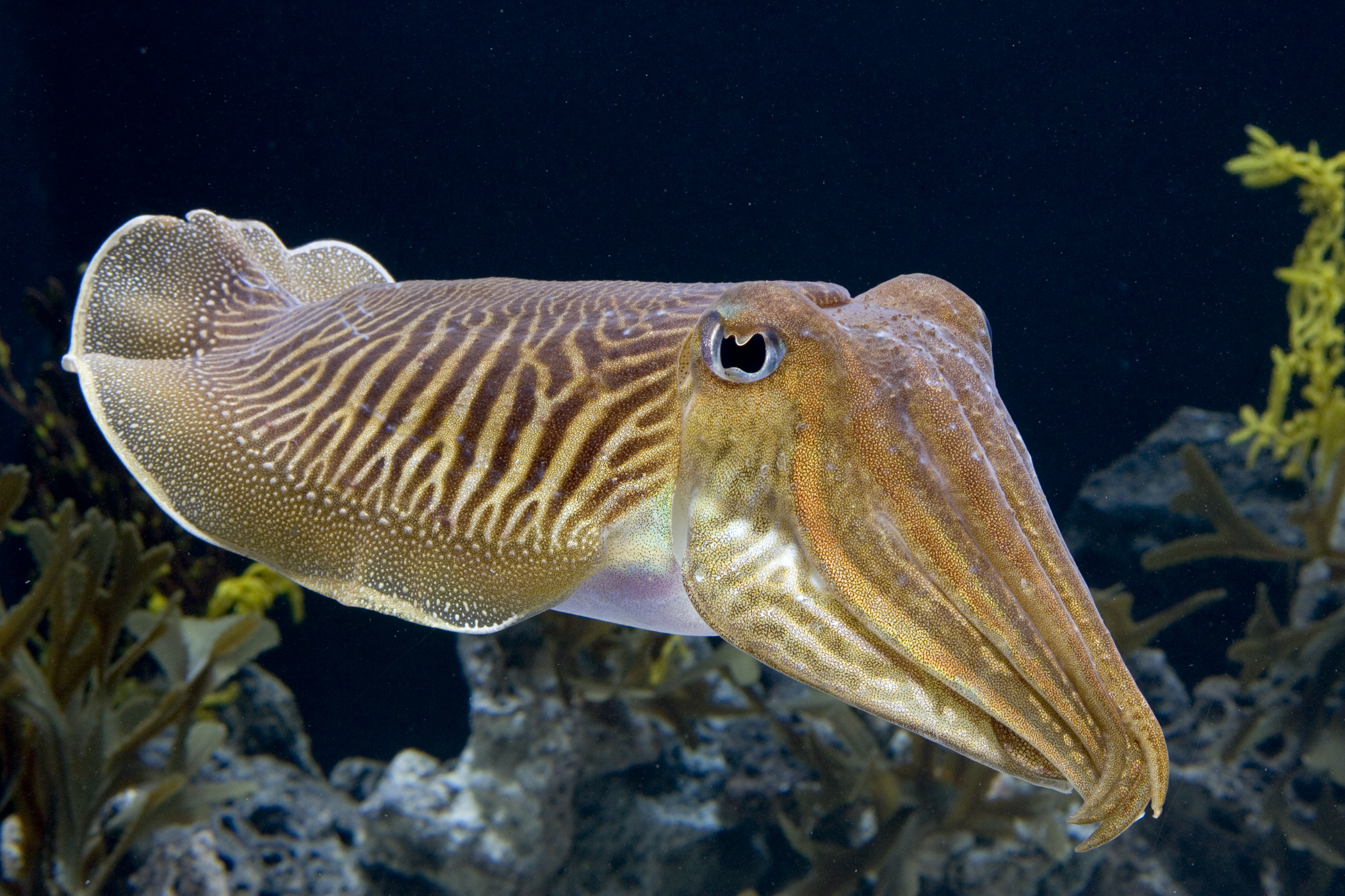 9 Cuttlefish HD Wallpapers