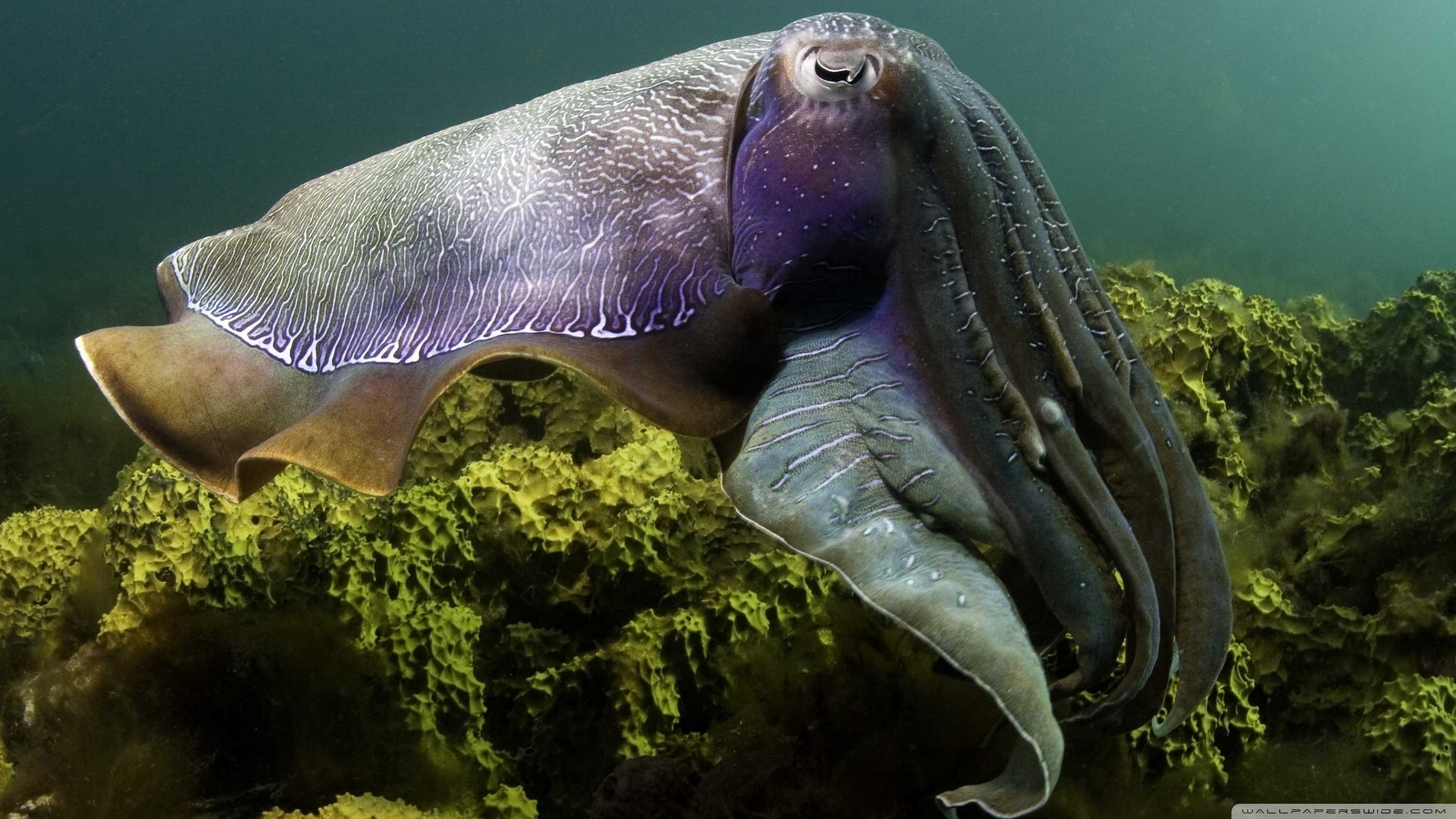 Best 58+ Cuttlefish Wallpapers on HipWallpapers
