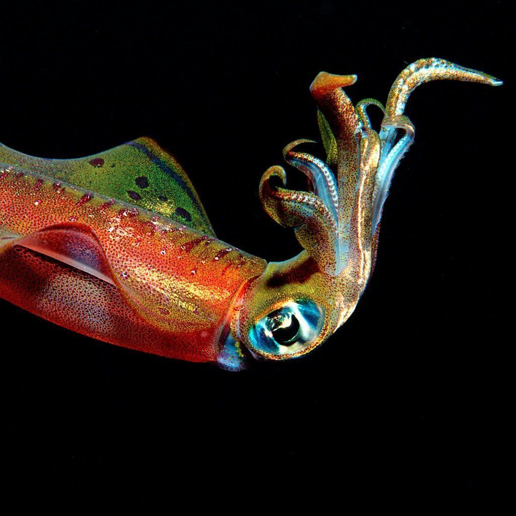 Cuttlefish iPad Wallpapers and iPad 2 Wallpapers