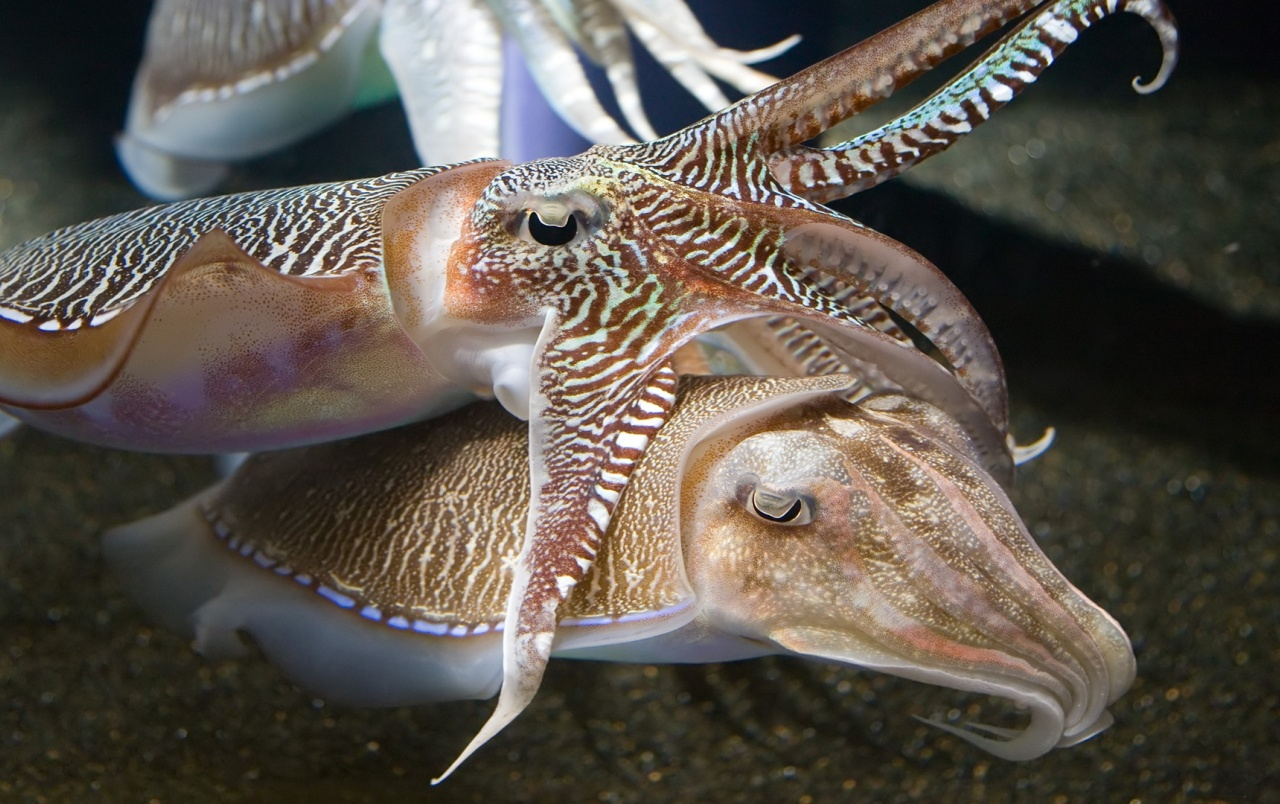 Cuttlefish wallpapers
