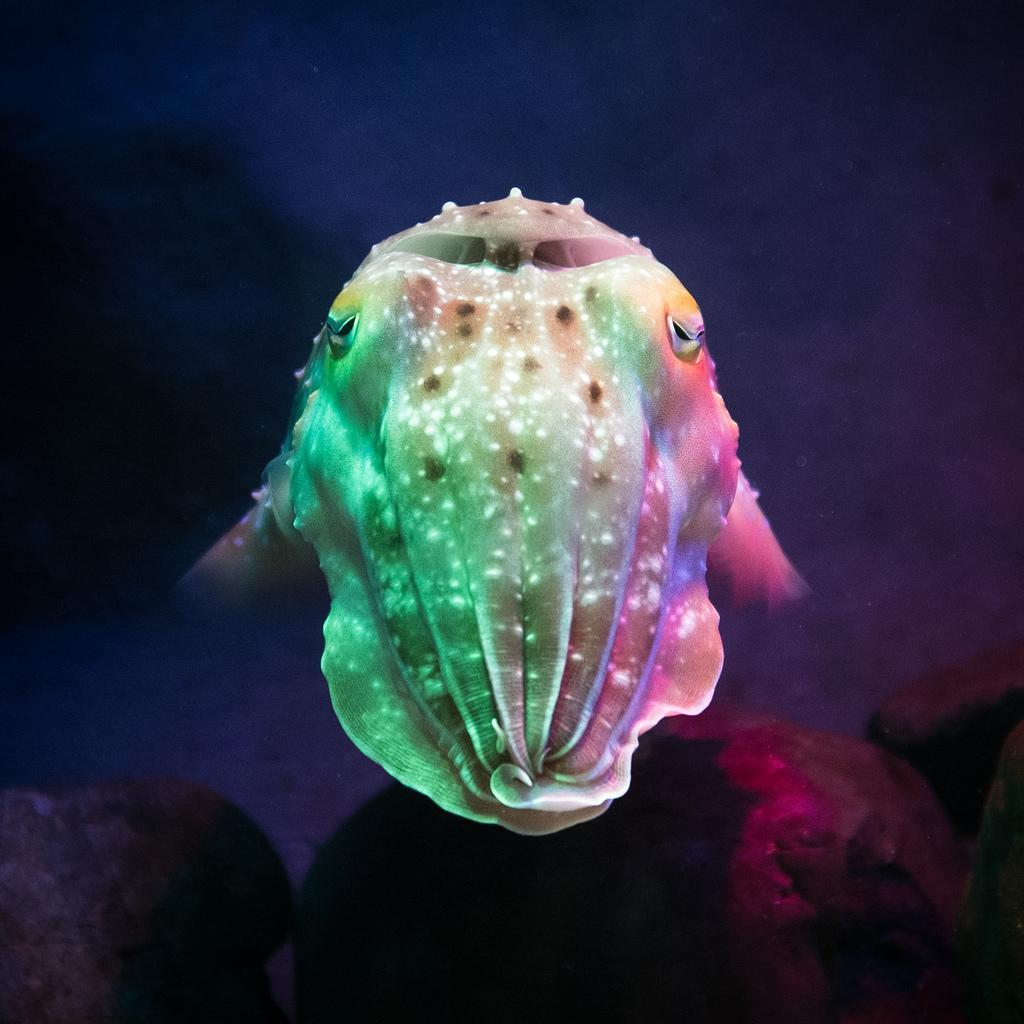 Cute Cuttlefish Wallpapers for Android