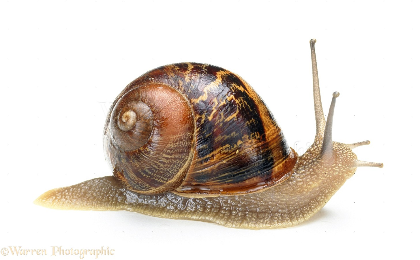Free Snail, Download Free Clip Art, Free Clip Art on Clipart