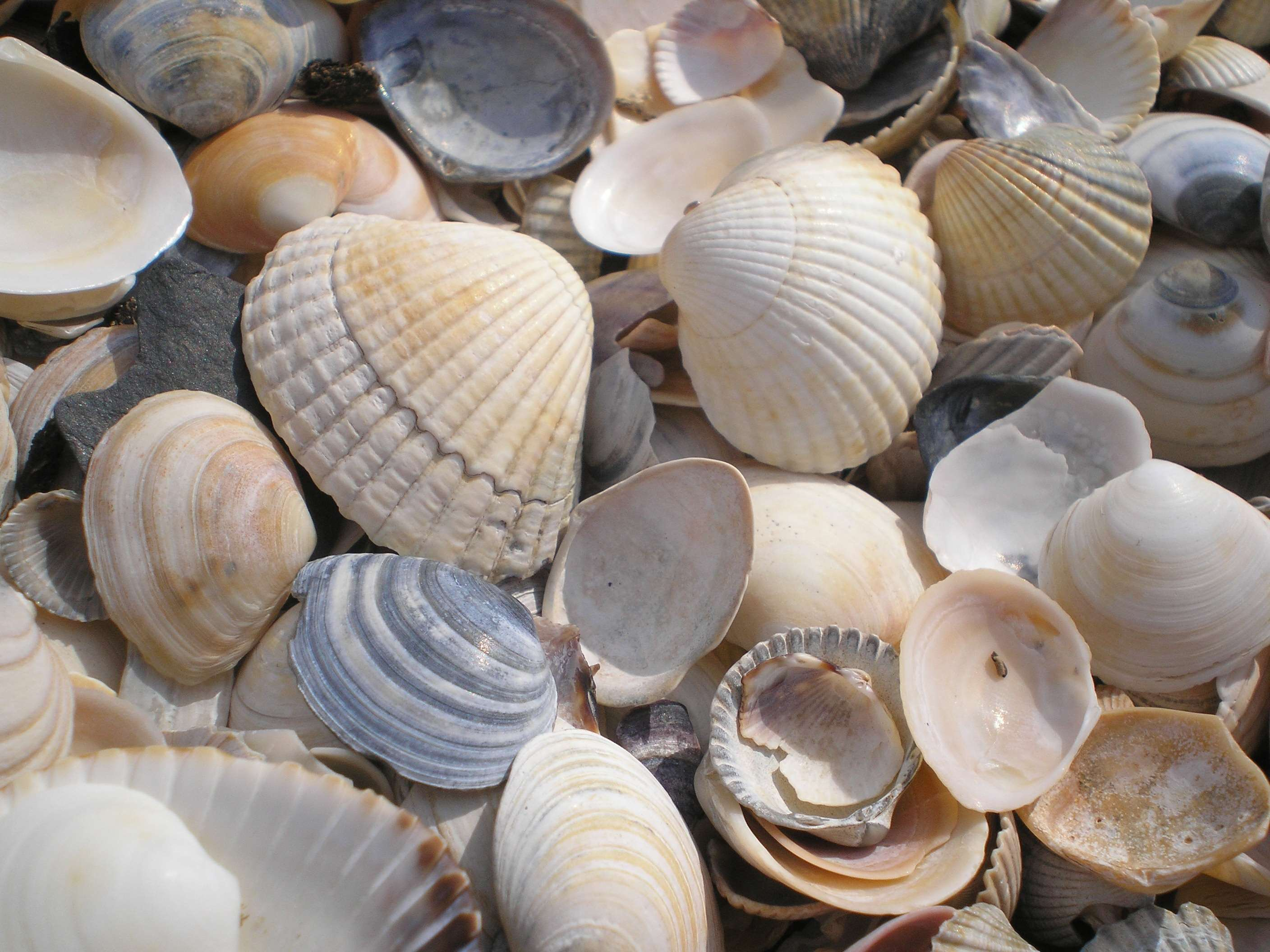 3067591 beach, decoration, holiday, mussels, sea wallpapers