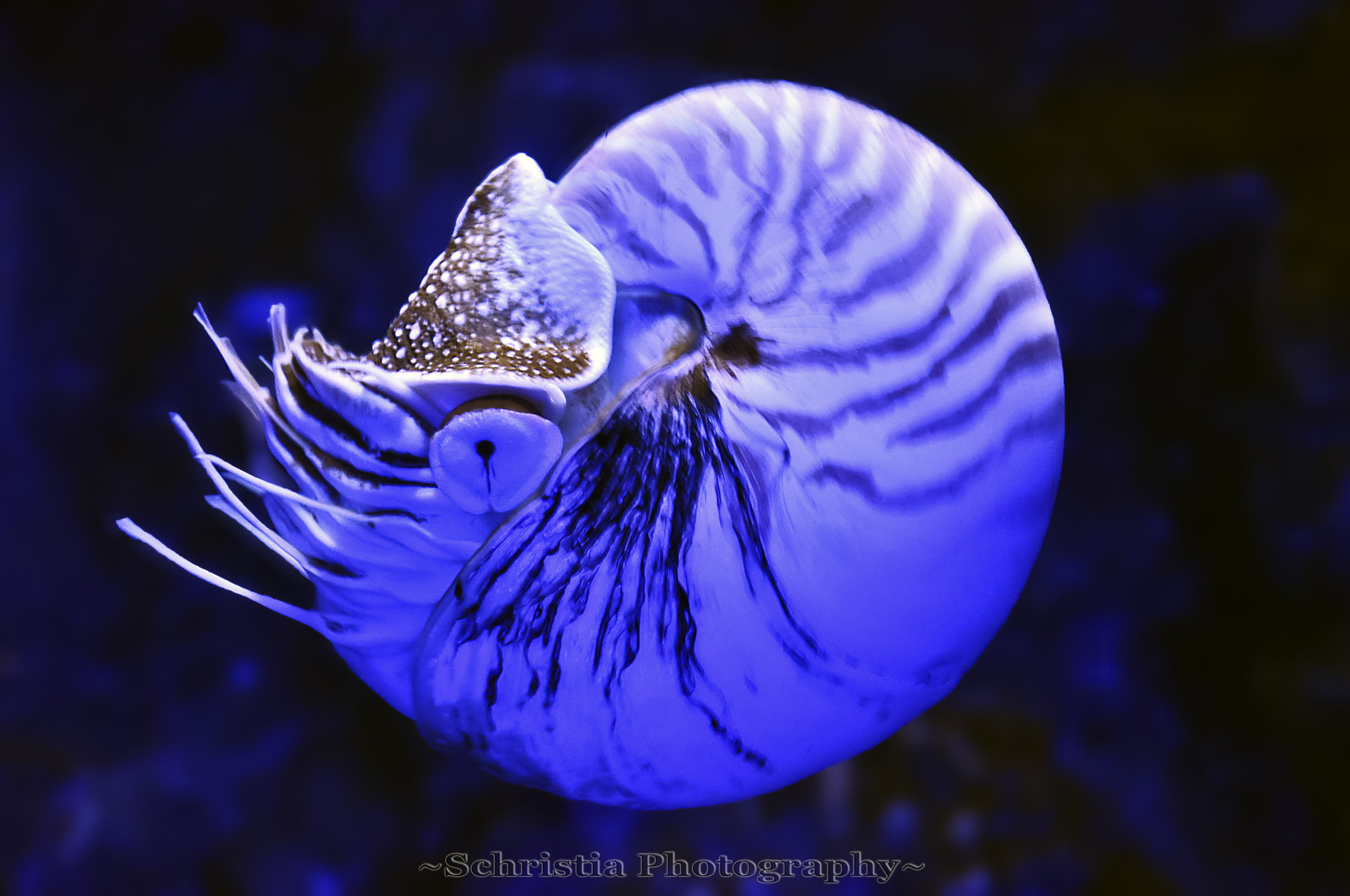 Under water photography of blue squid, nautilus HD wallpapers