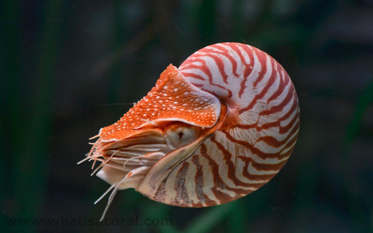 What is a coral ? Wallpapers 431 Nautilus pompilius