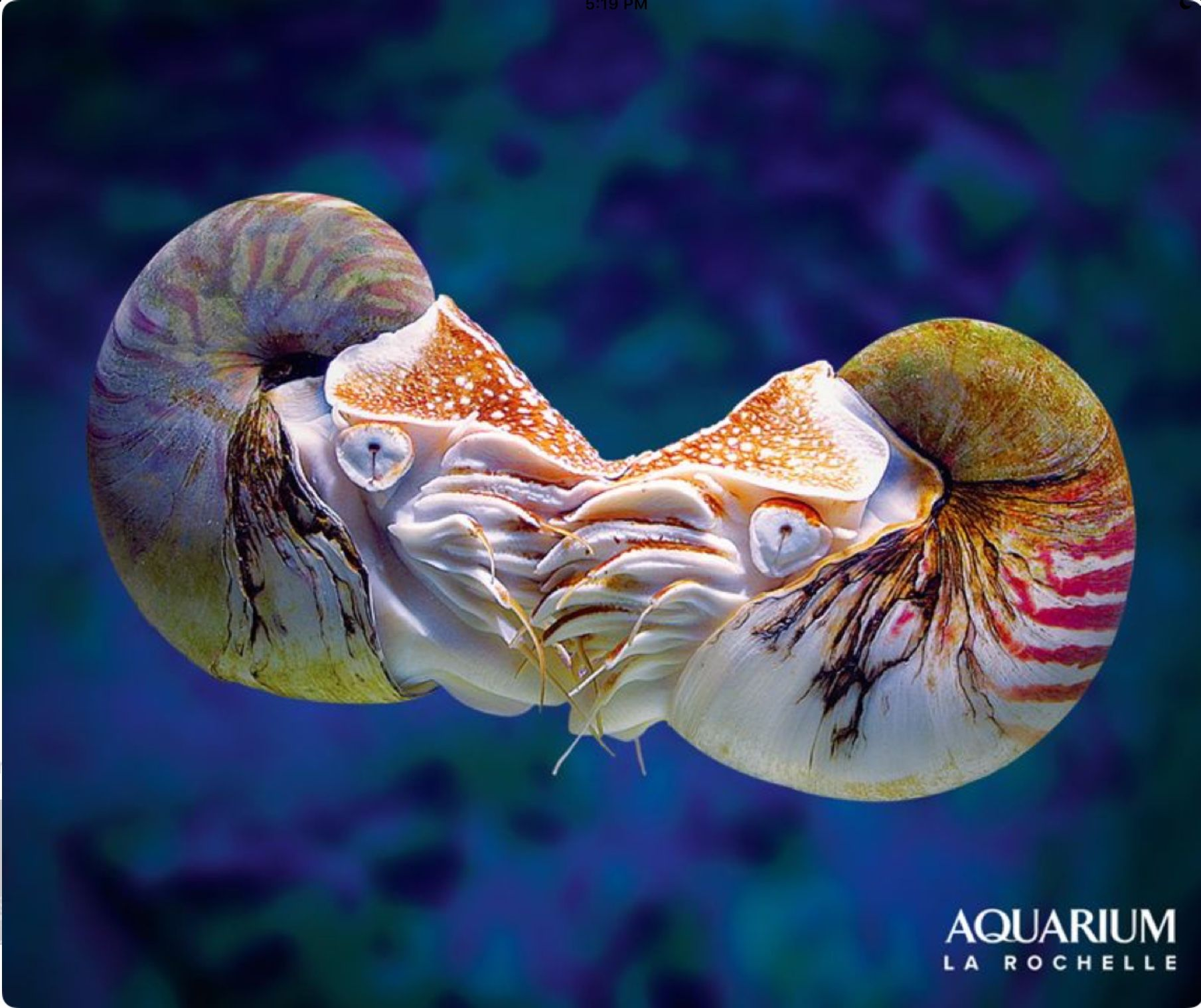 The beautiful and mysterious chambered nautilus is a living