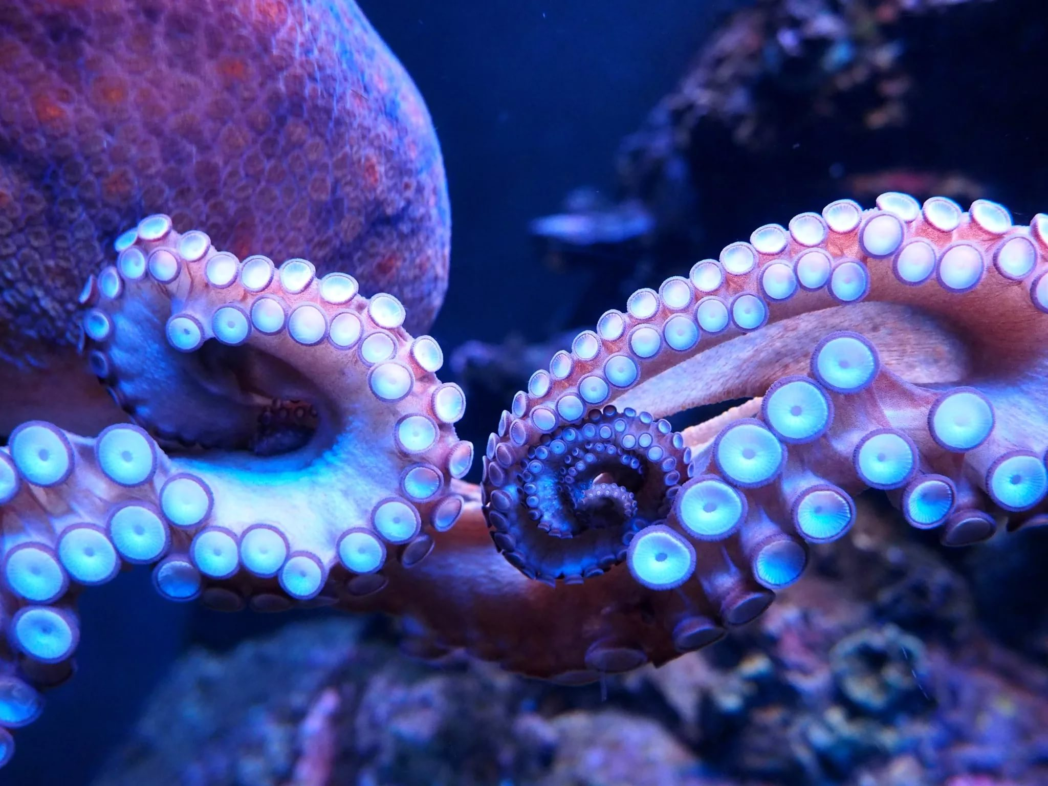 Octopus HD Wallpapers free