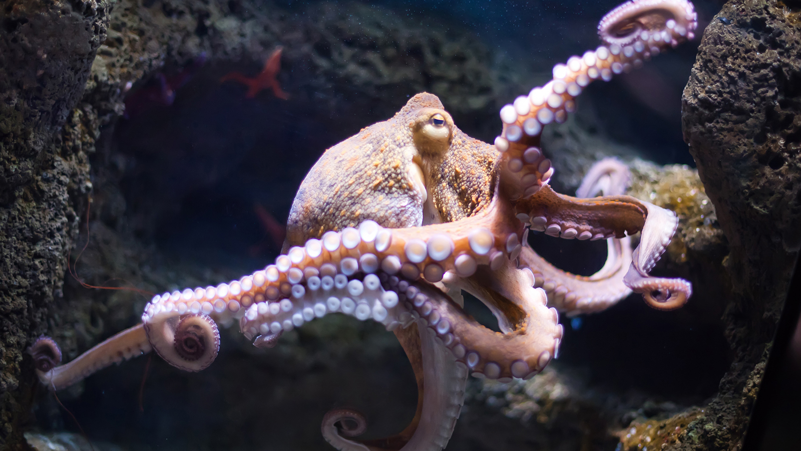 Real Octopus Image HD Wallpapers – Animals And Birds