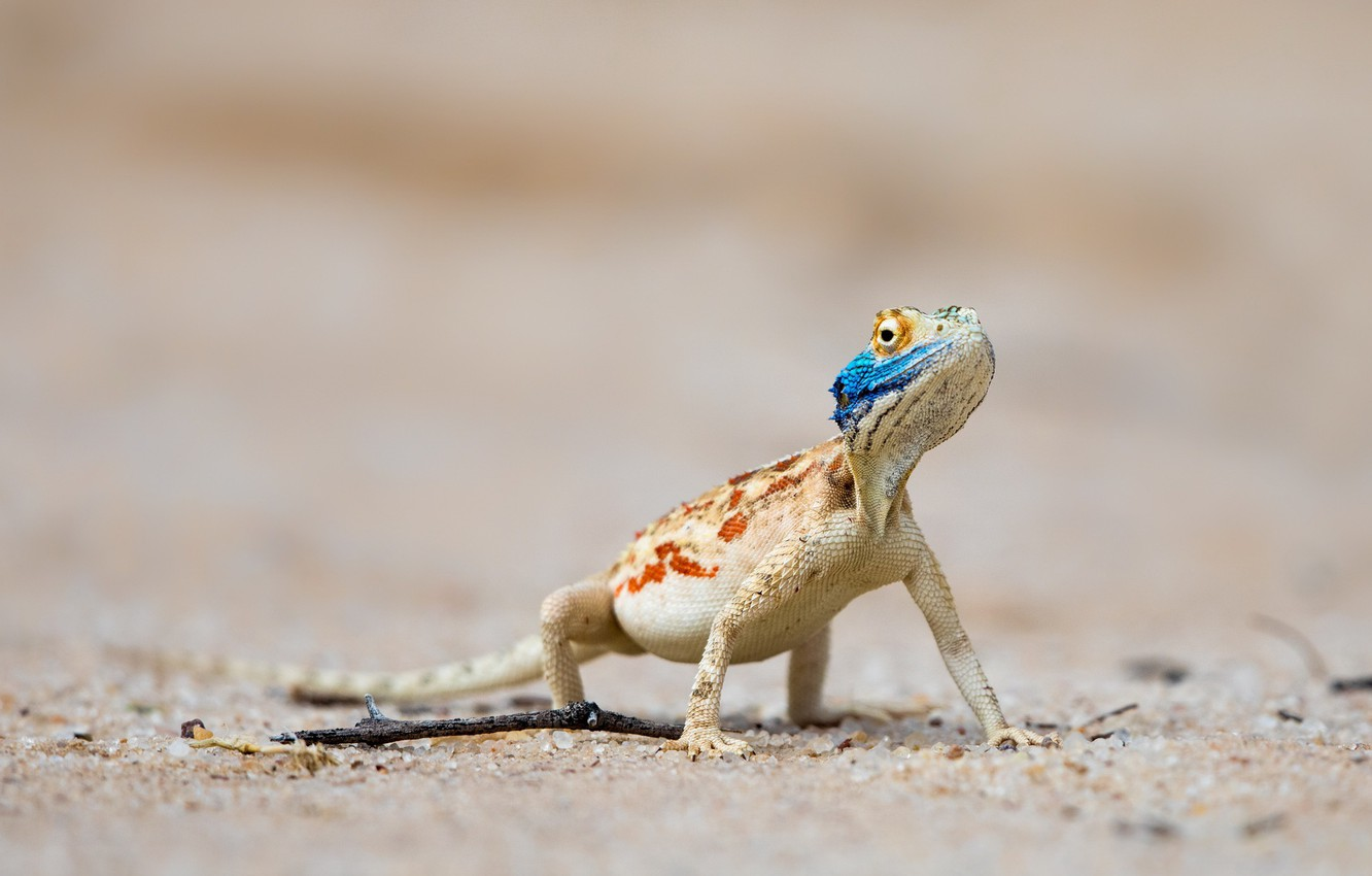 Wallpapers South Africa, Ground agama, Nossob, Kgalagadi