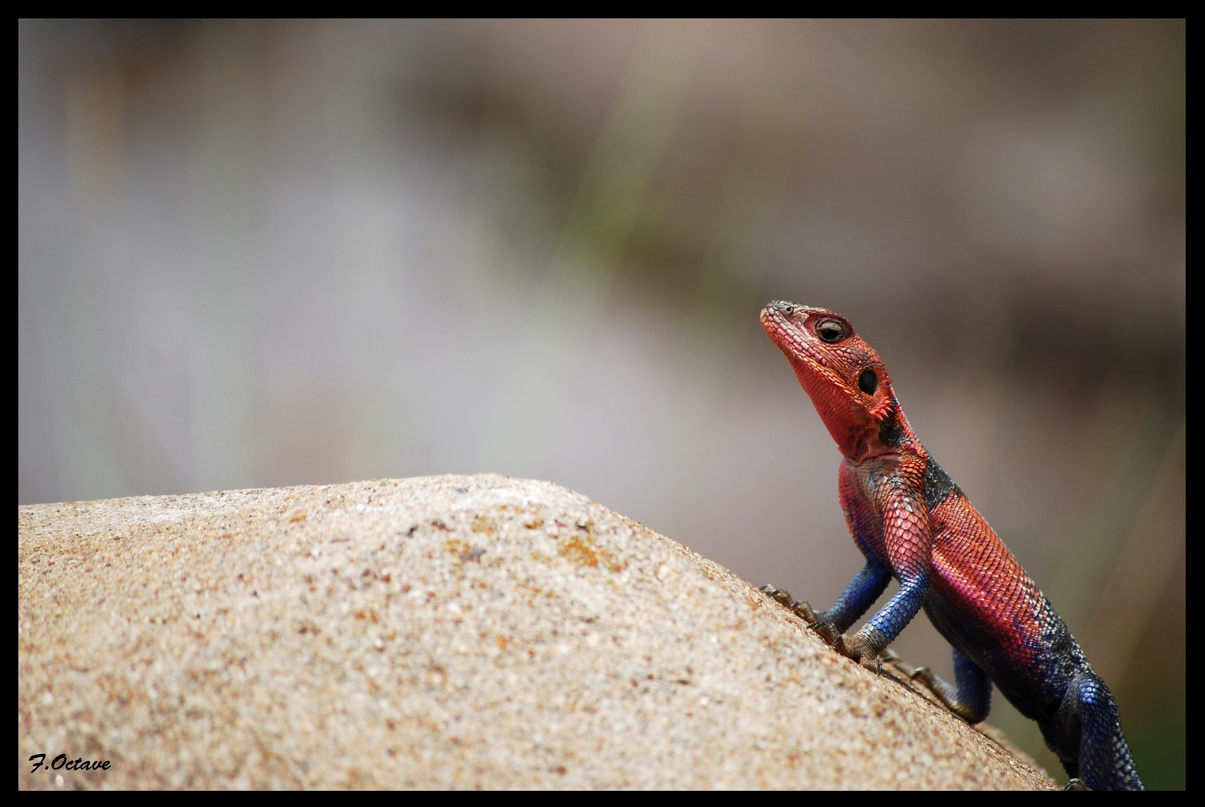 lizards reptiles redheaded rock agama 3872x2592 wallpapers