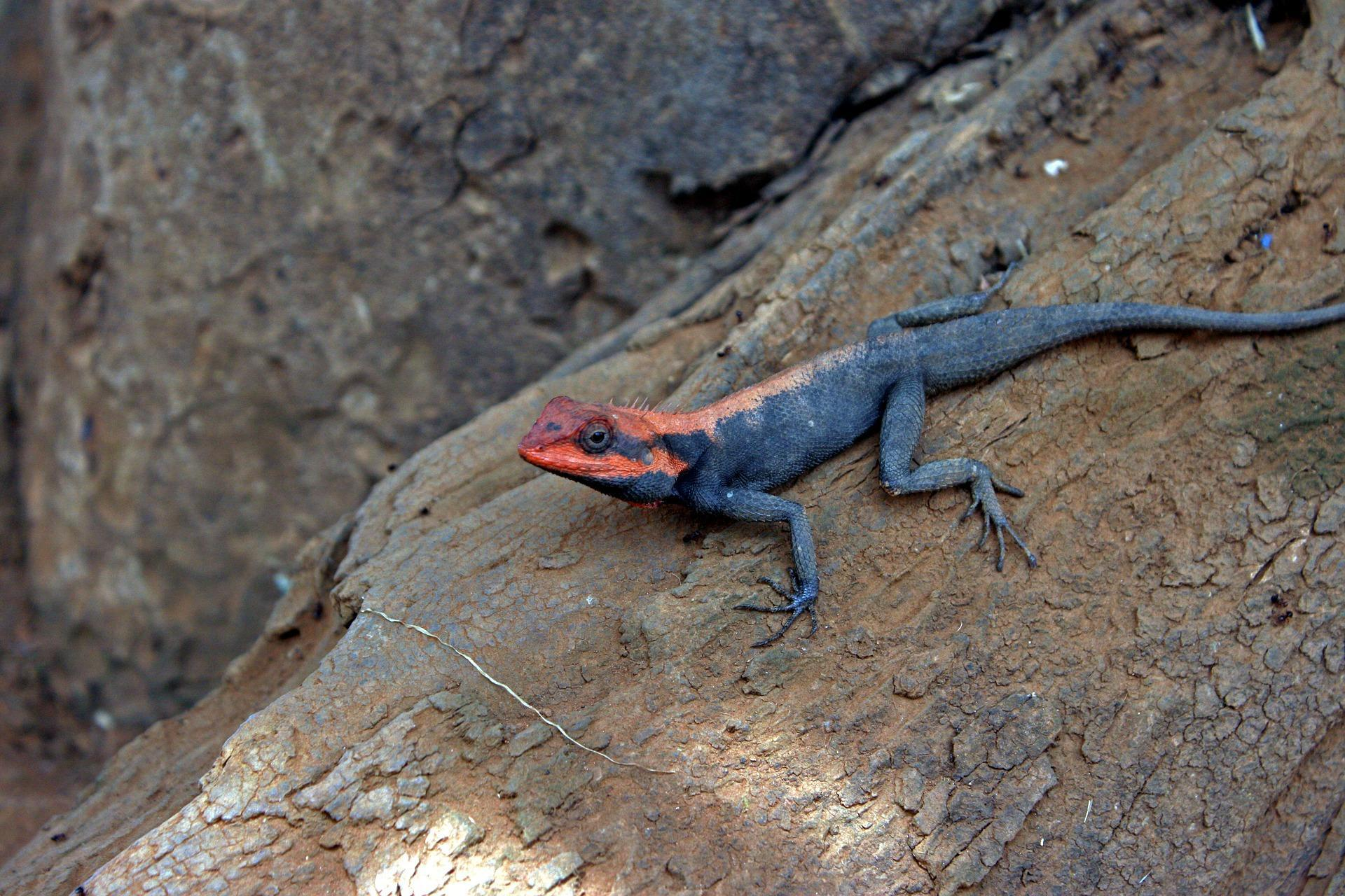 Agama lizard Wallpapers HD for Android
