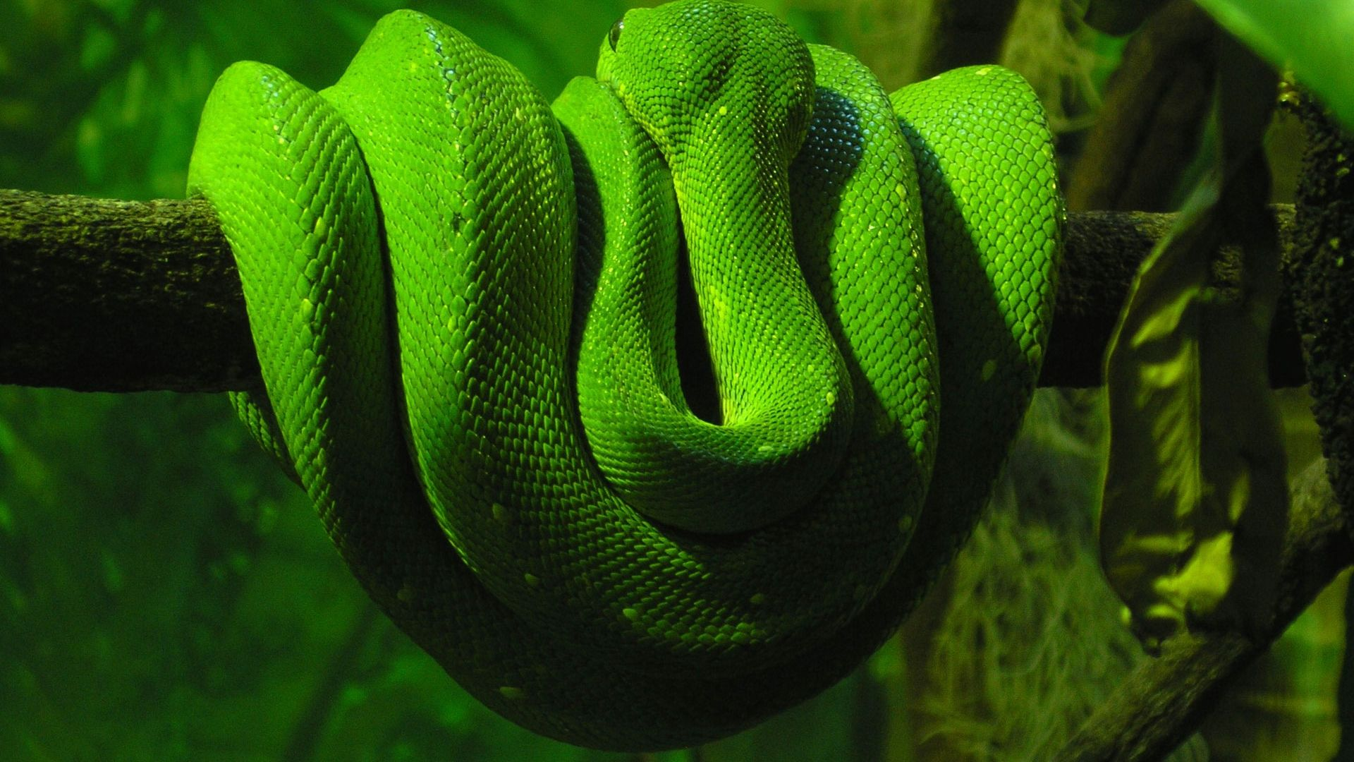 Amazing Green Anaconda HD Wallpapers