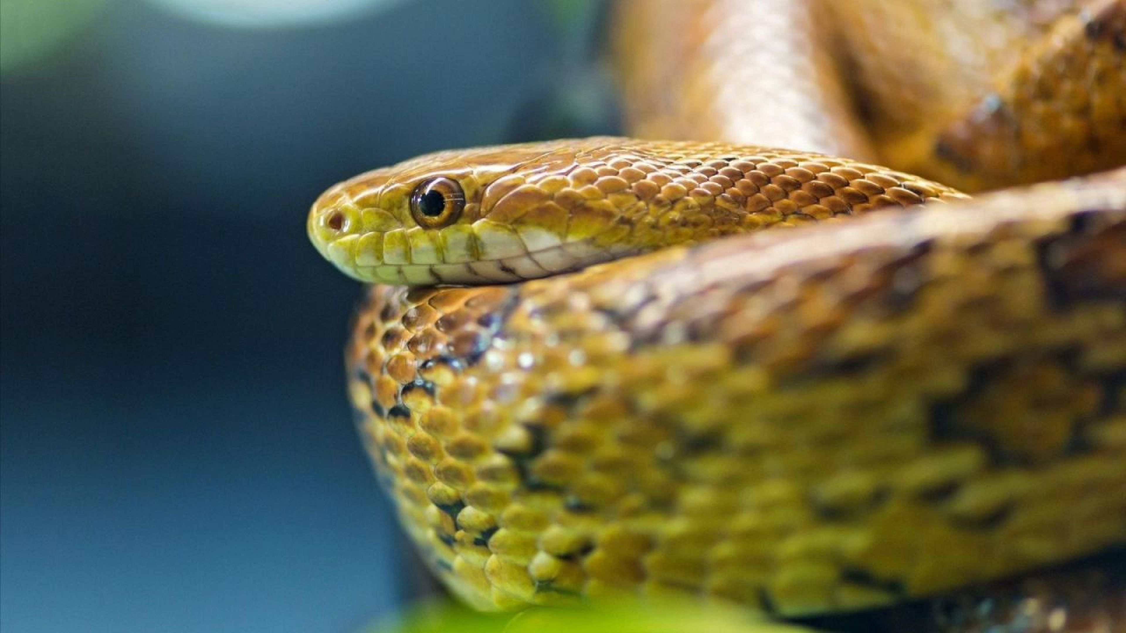 wallpapers green anaconda snake 4k