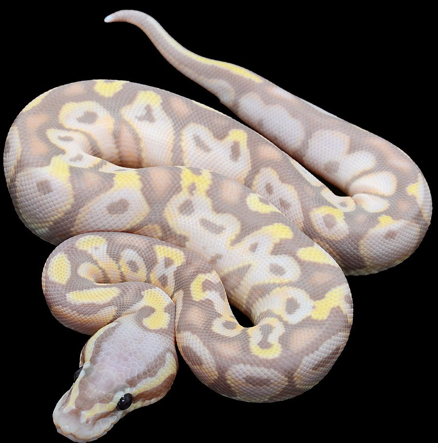 ball pythons for sale online