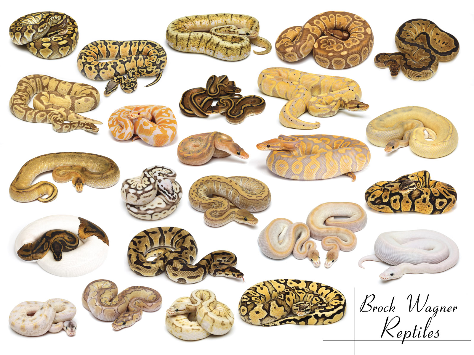 Best 41+ Ball Python Wallpapers on HipWallpapers